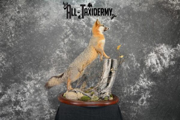 gray fox mount