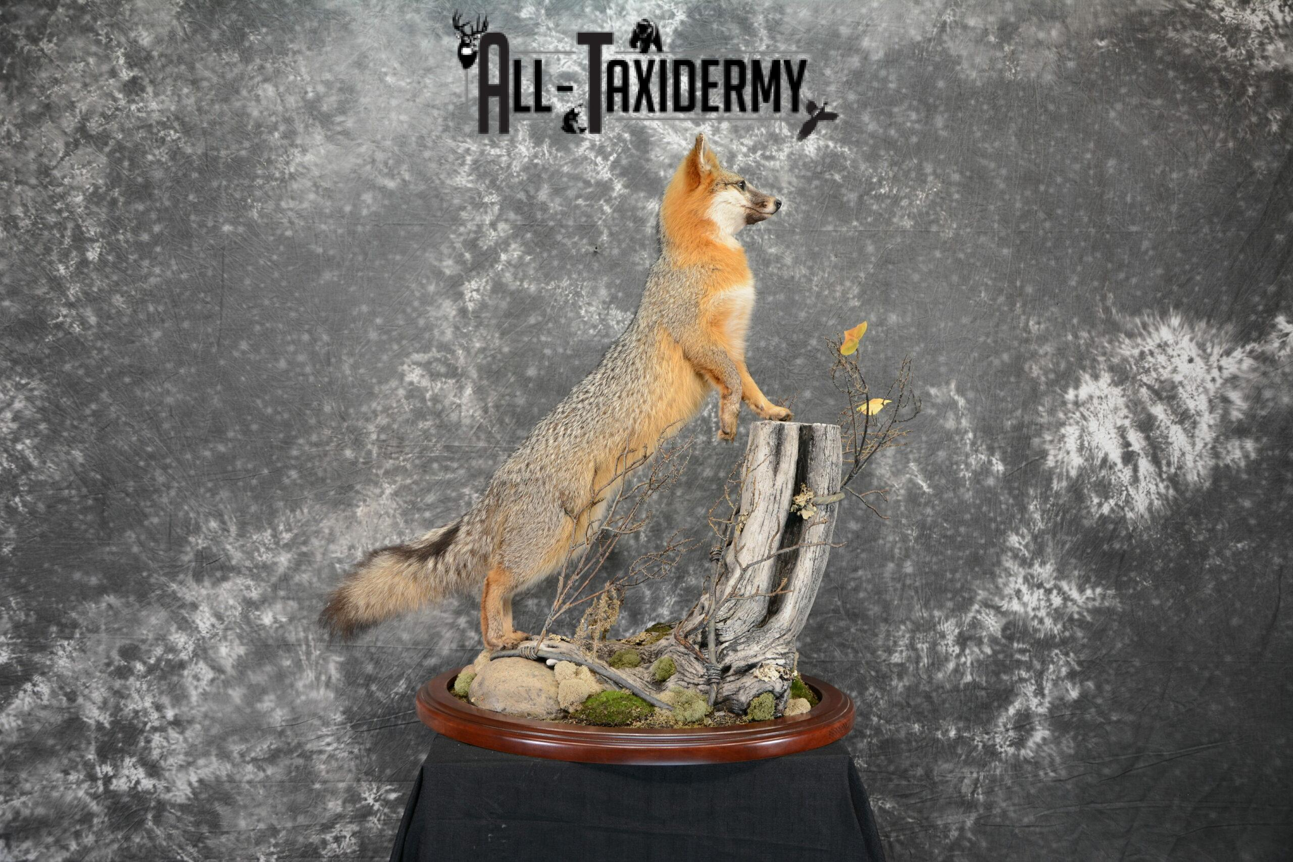 Gray Fox Taxidermy for Sale SKU 1062