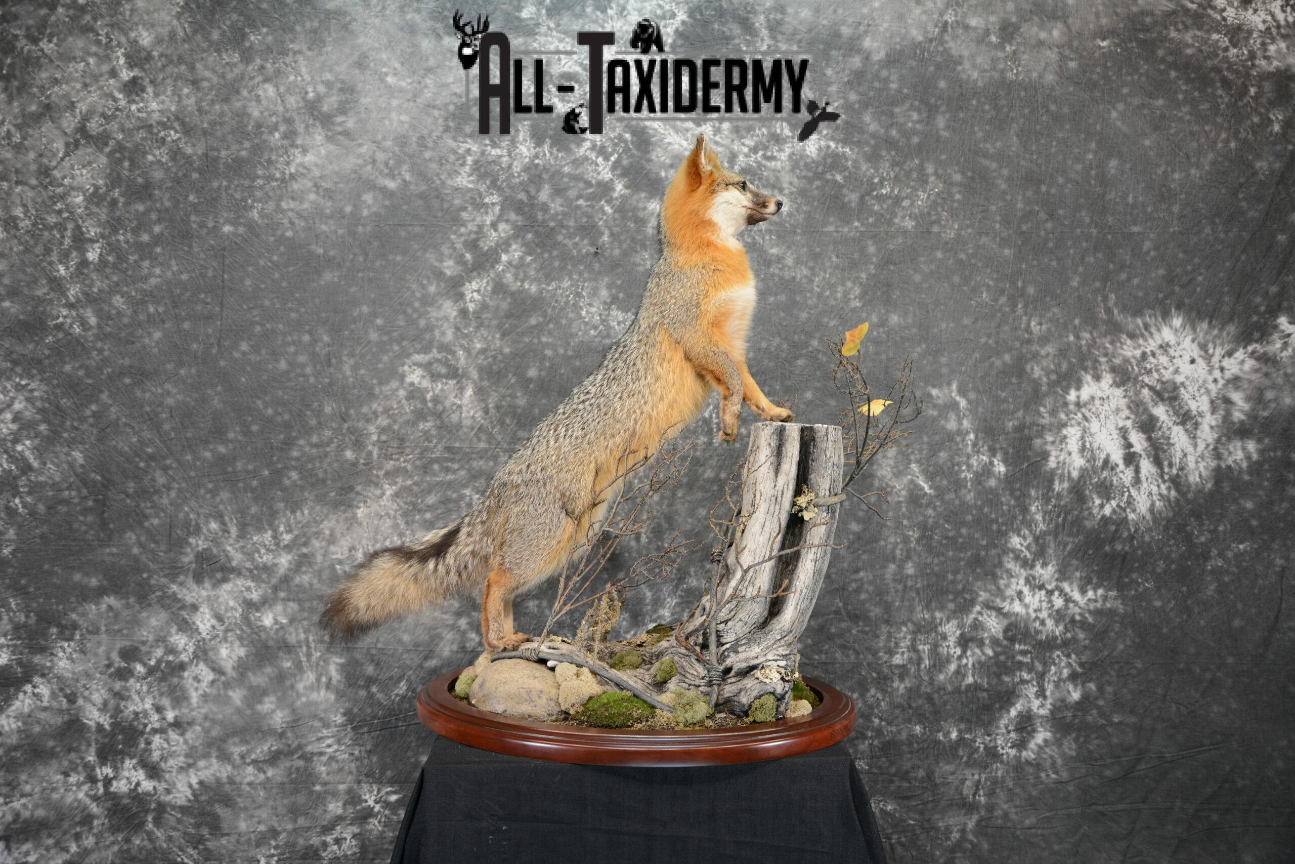 Gray Fox Taxidermy for Sale SKU 1062