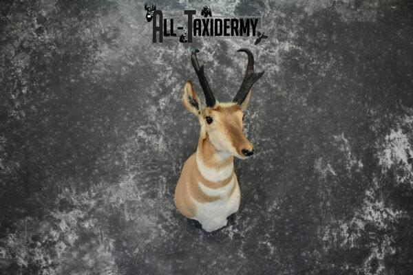 pronghorn antelope taxidermy