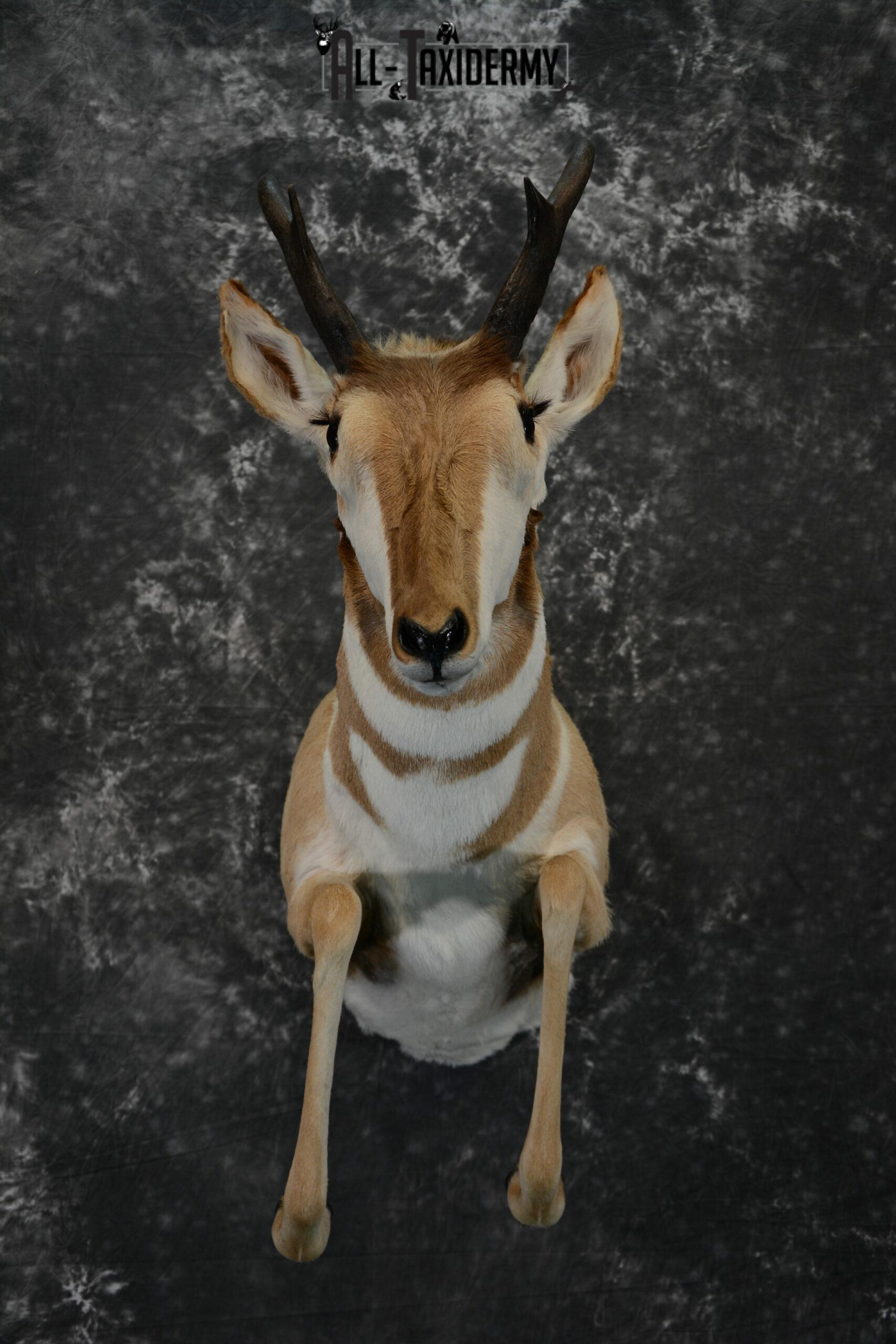 Pronghorn Antelope Taxidermy mount for Sale SKU 1093
