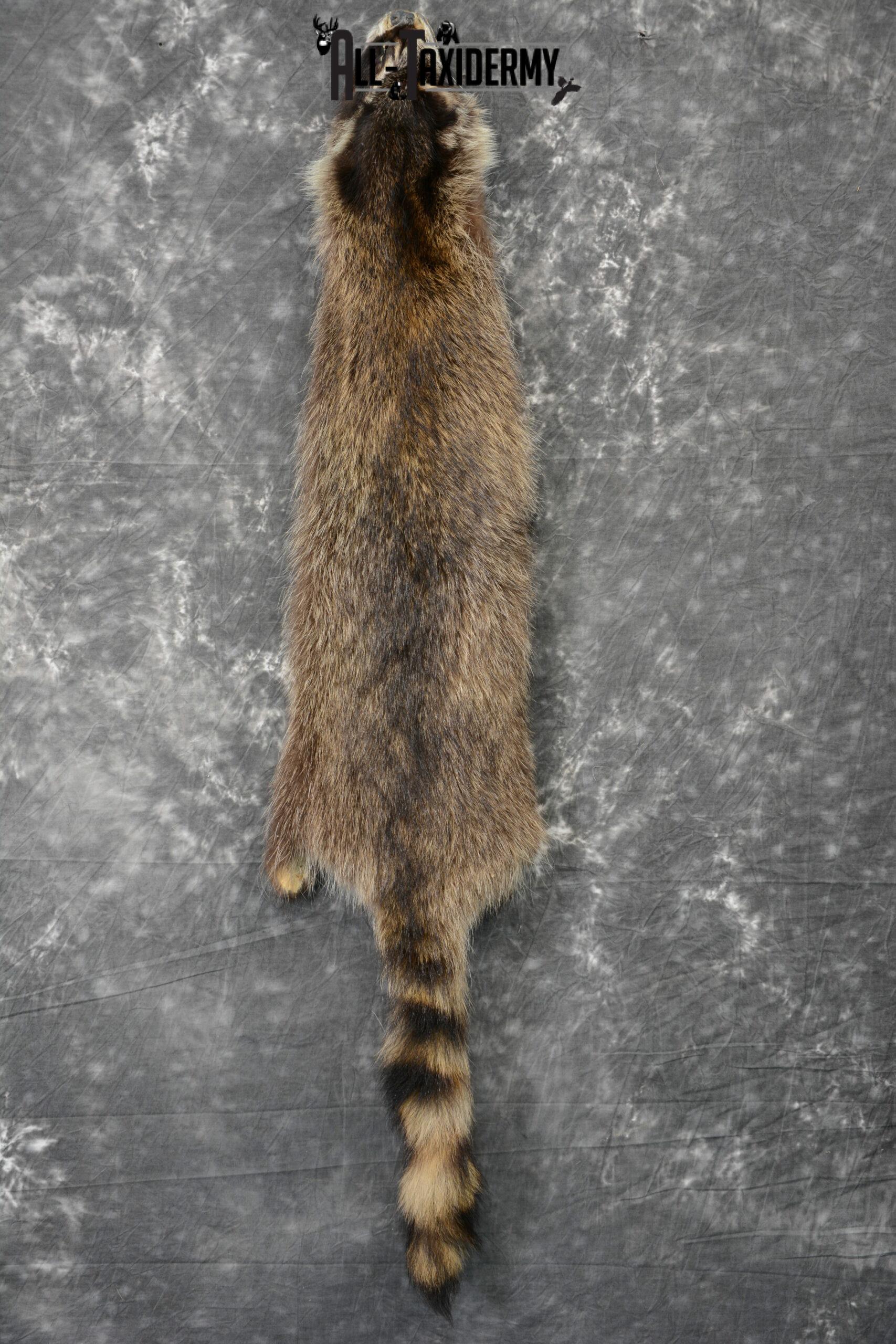 Raccoon Hide Pelt Taxidermy for Sale SKU 1106