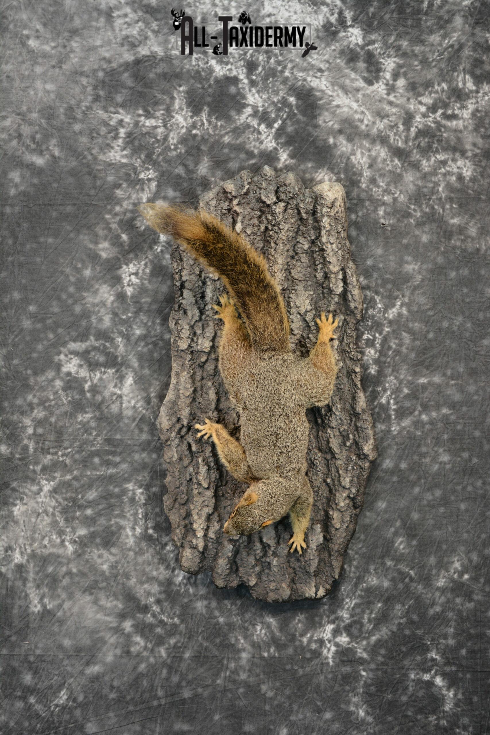 Grey Squirrel Taxidermy mount for Sale SKU 1096
