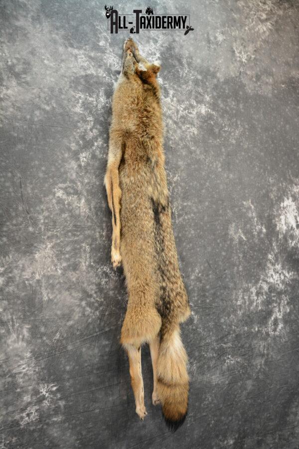 taxidermy coyote pelt