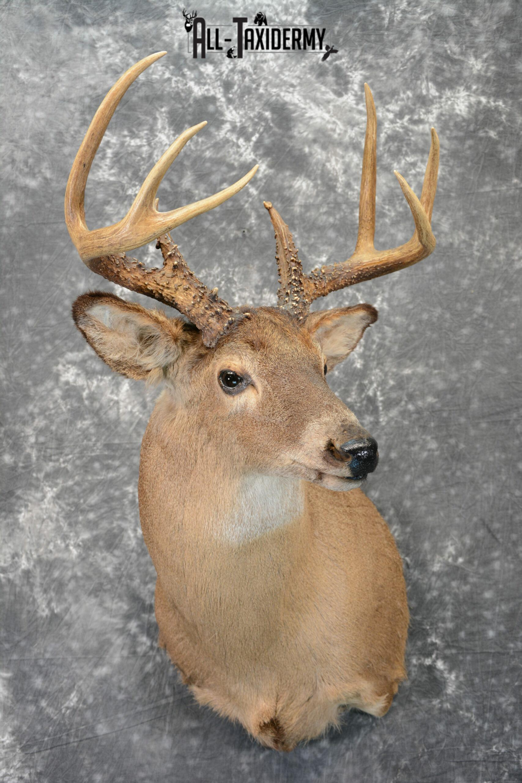 Whitetail Deer Taxidermy Mount for Sale SKU 1090