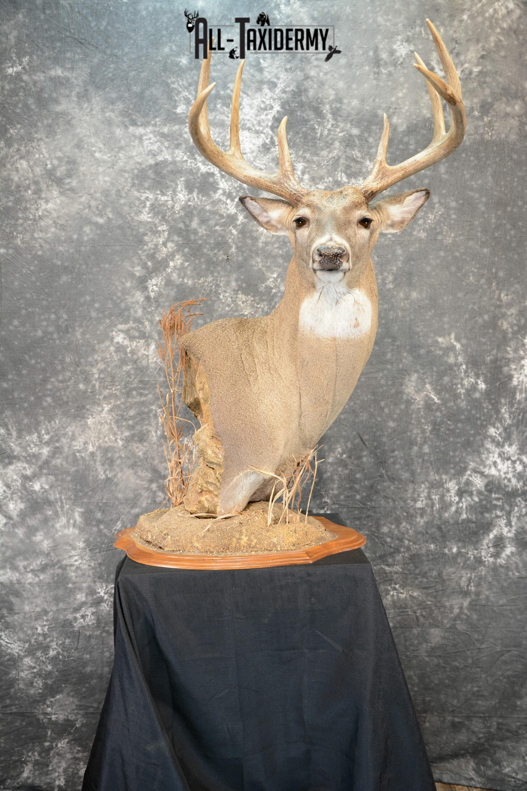 Whitetail Deer Taxidermy for Sale SKU 1073