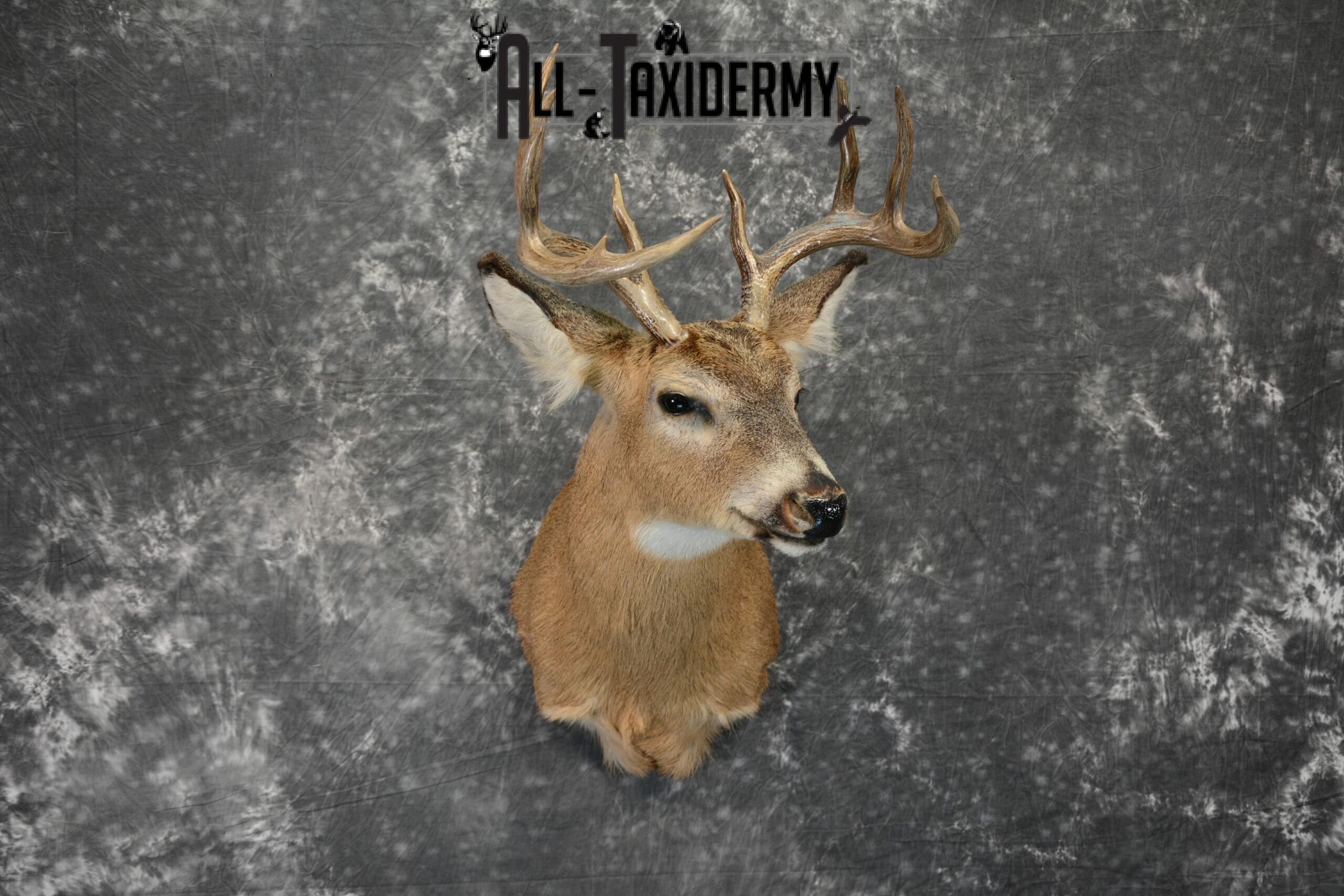 Whitetail Taxidermy Mount For Sale SKU 1098