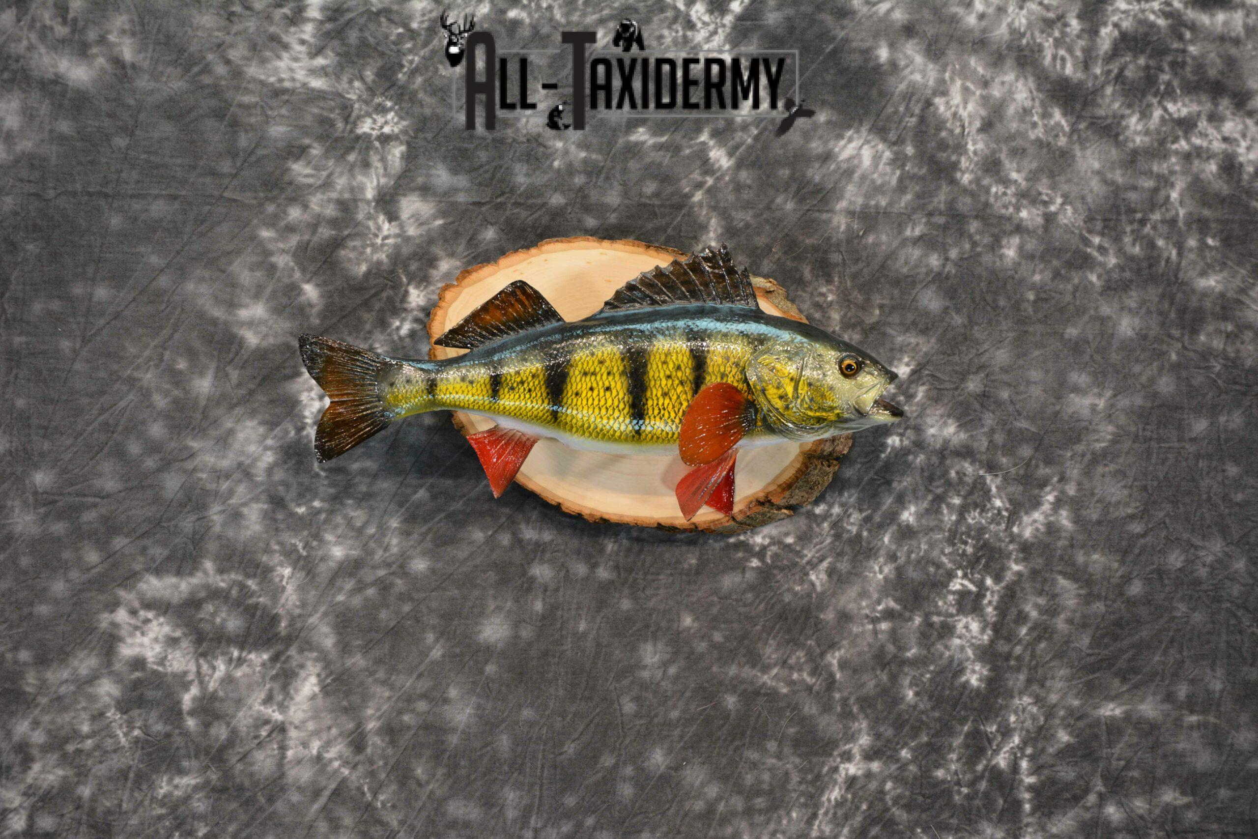 Yellow Perch Reproduction Taxidermy for Sale SKU 1190