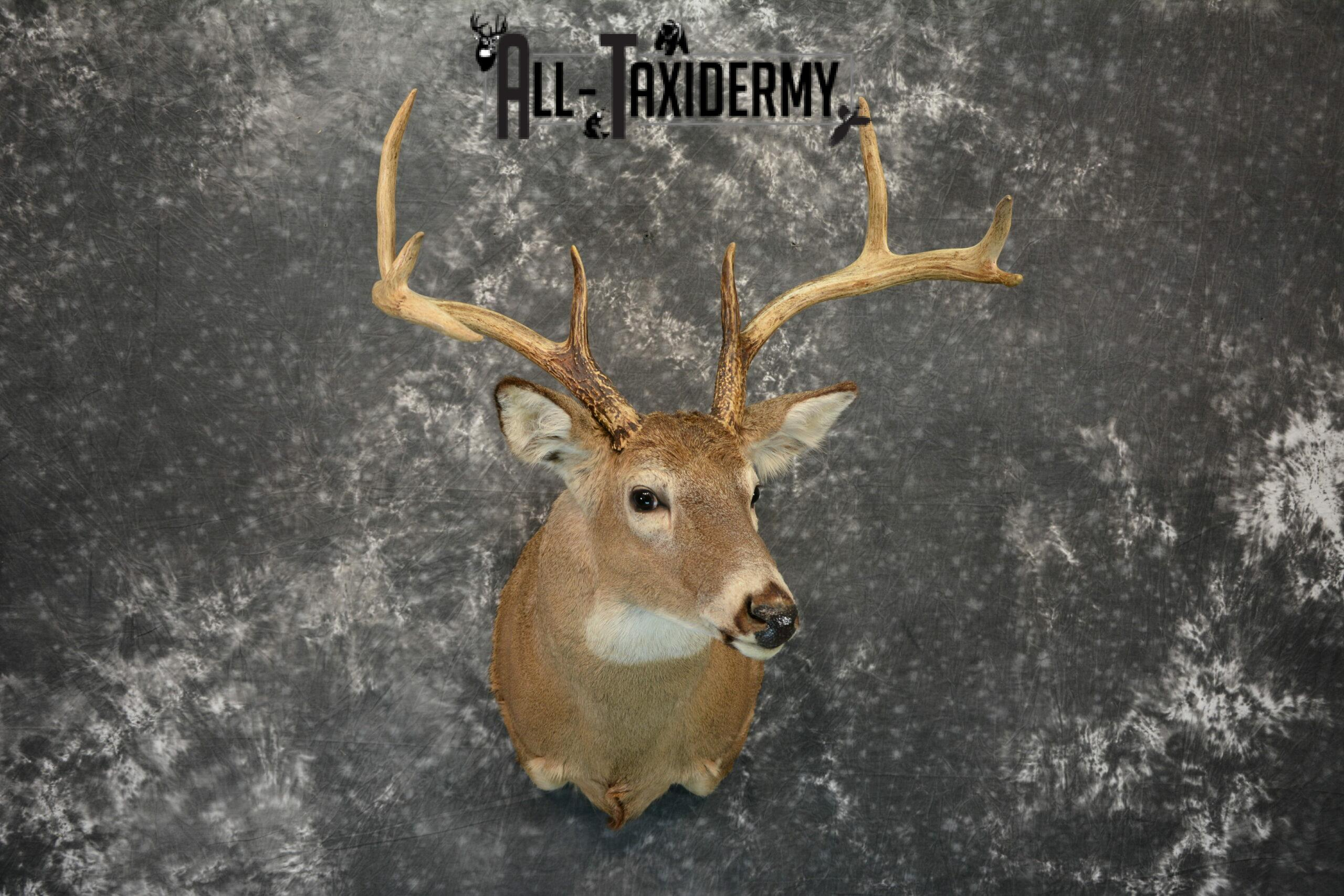 Whitetail Taxidermy Mount For Sale SKU 1196