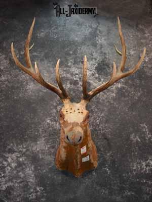 Elk décor shoulder mount SKU1014