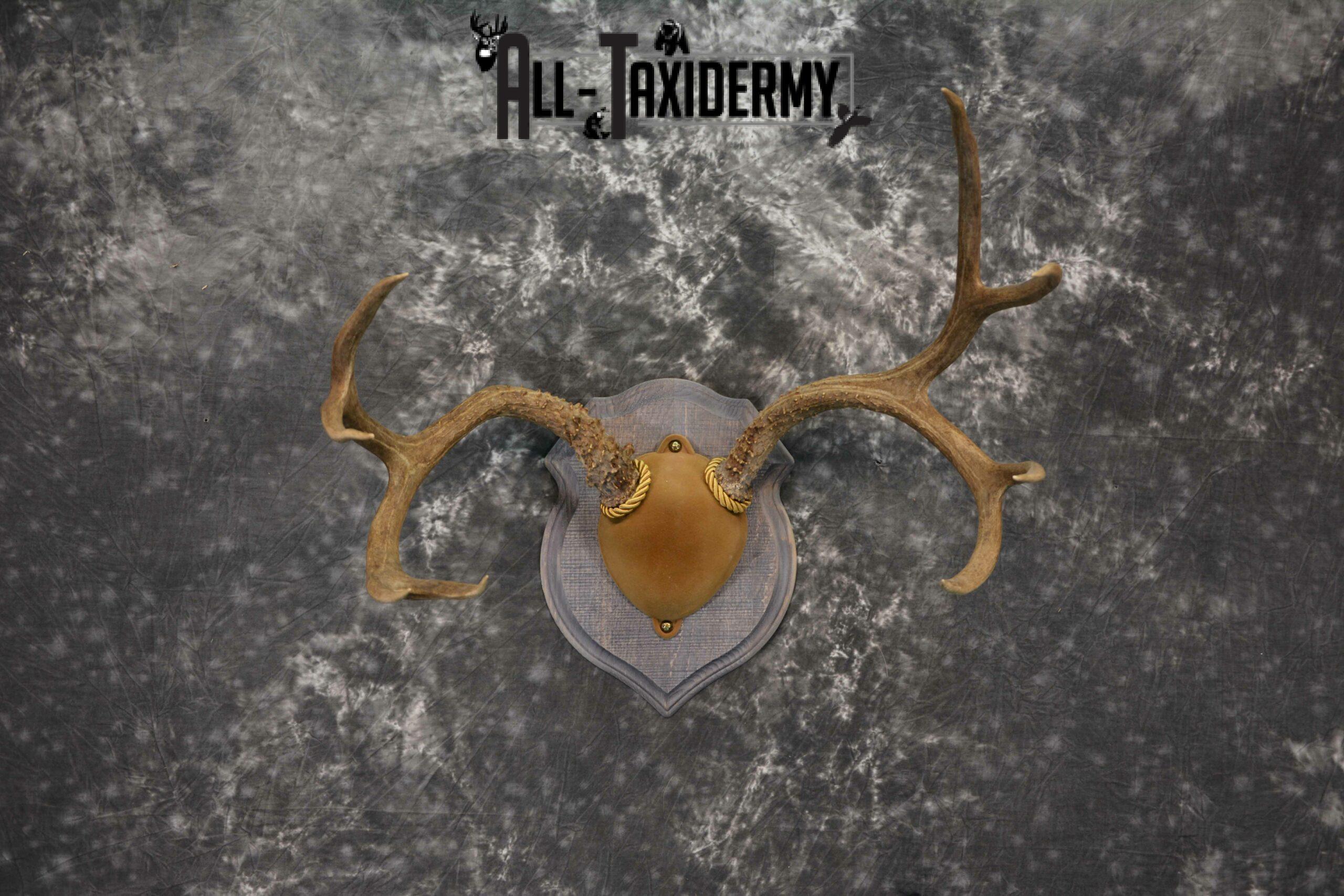Mule Deer Antler base plaque taxidermy mount for sale SKU 1188