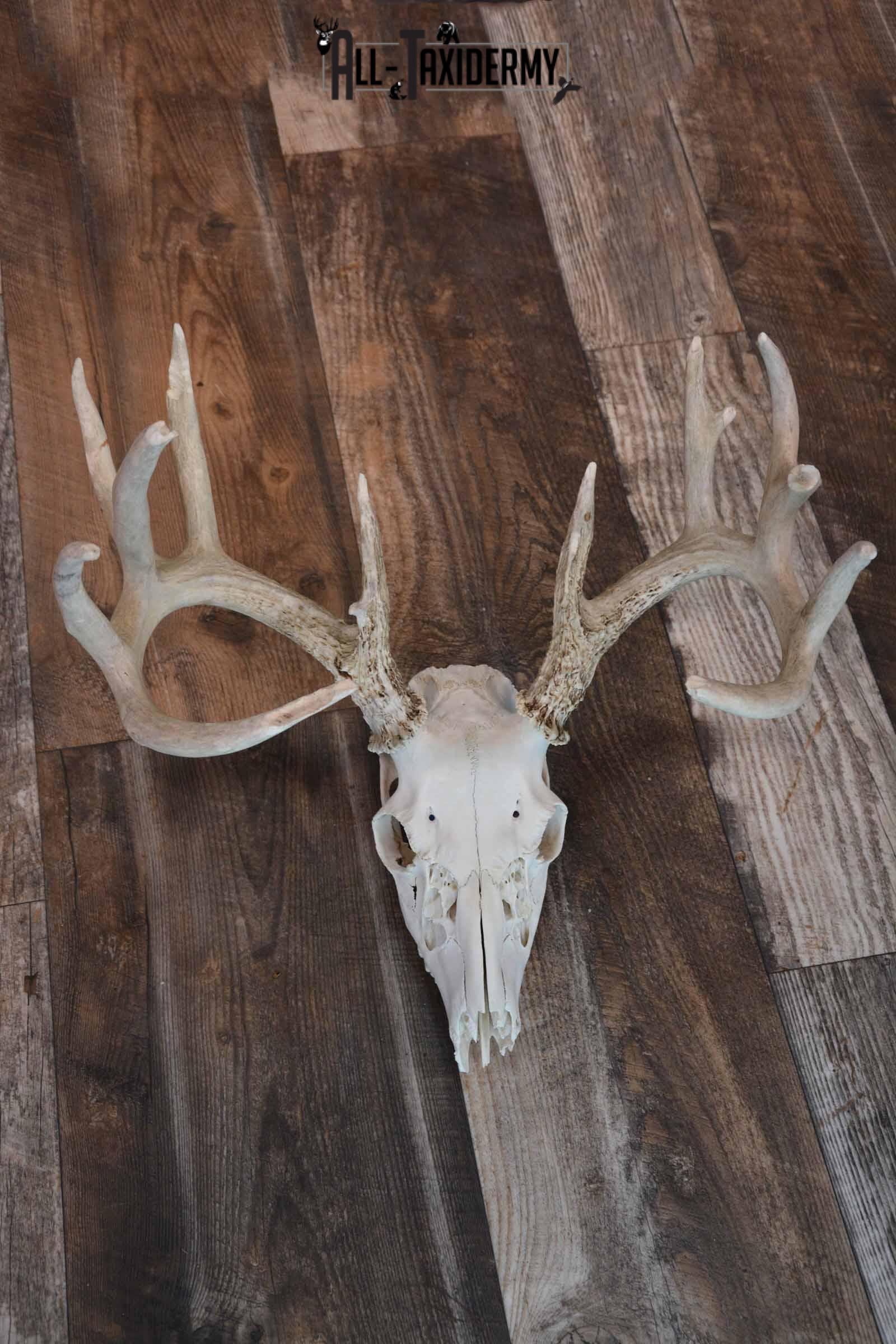 Whitetail Deer European skull mount for sale SKU 1207
