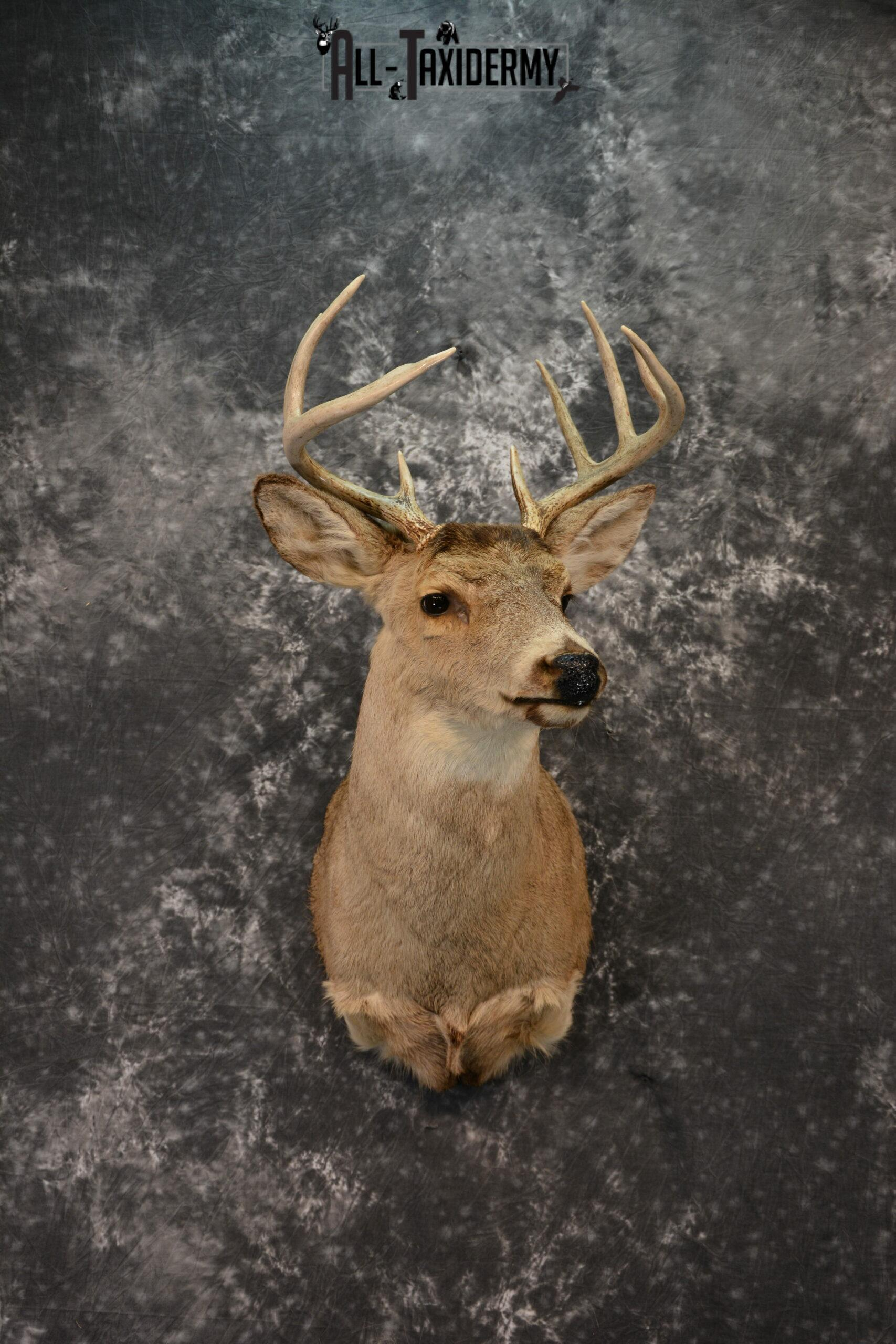 Whitetail deer taxidermy should mount for sale SKU 1215