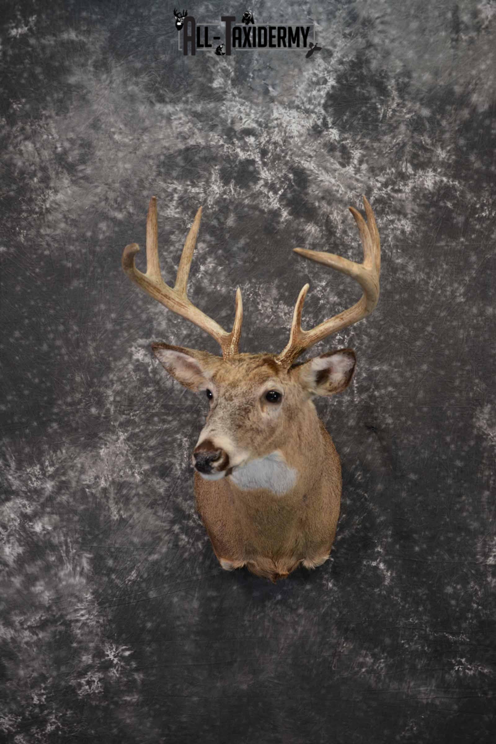 Whitetail deer taxidermy shoulder mount for sale SKU 1218