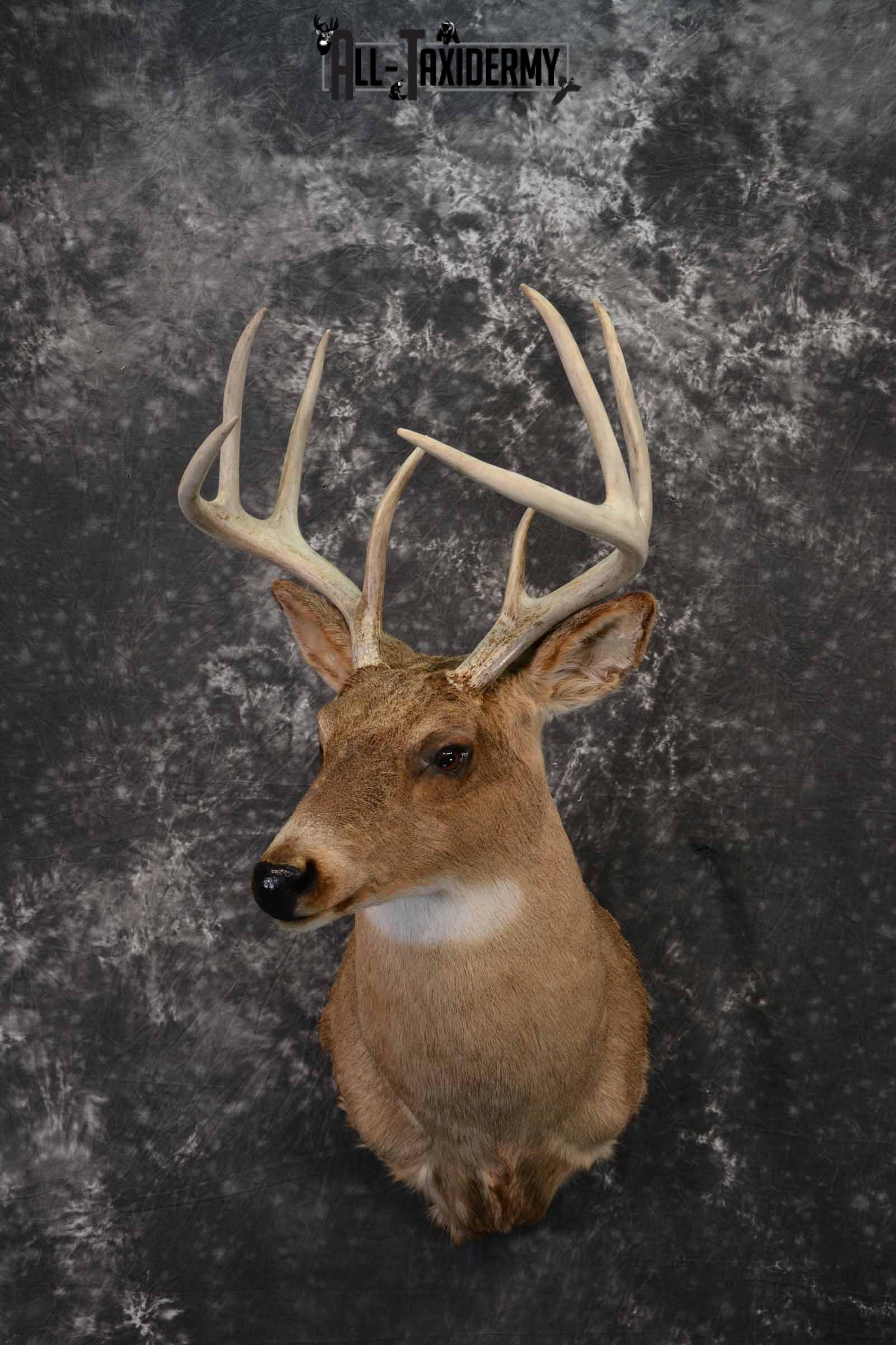 Whitetail deer taxidermy shoulder mount for sale SKU 1220