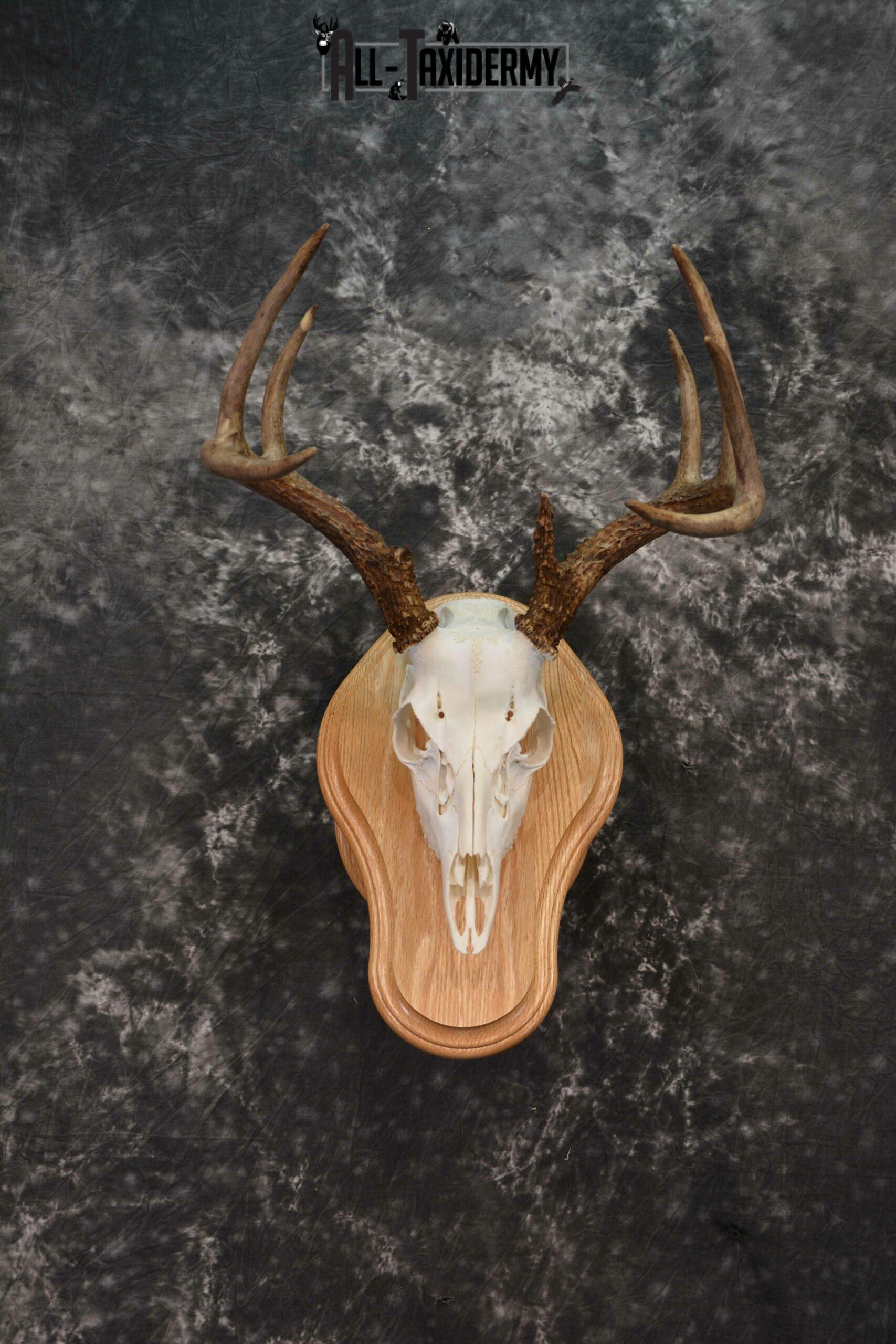 Whitetail deer European skull mounted to solid oak plaque for sale SKU 1223