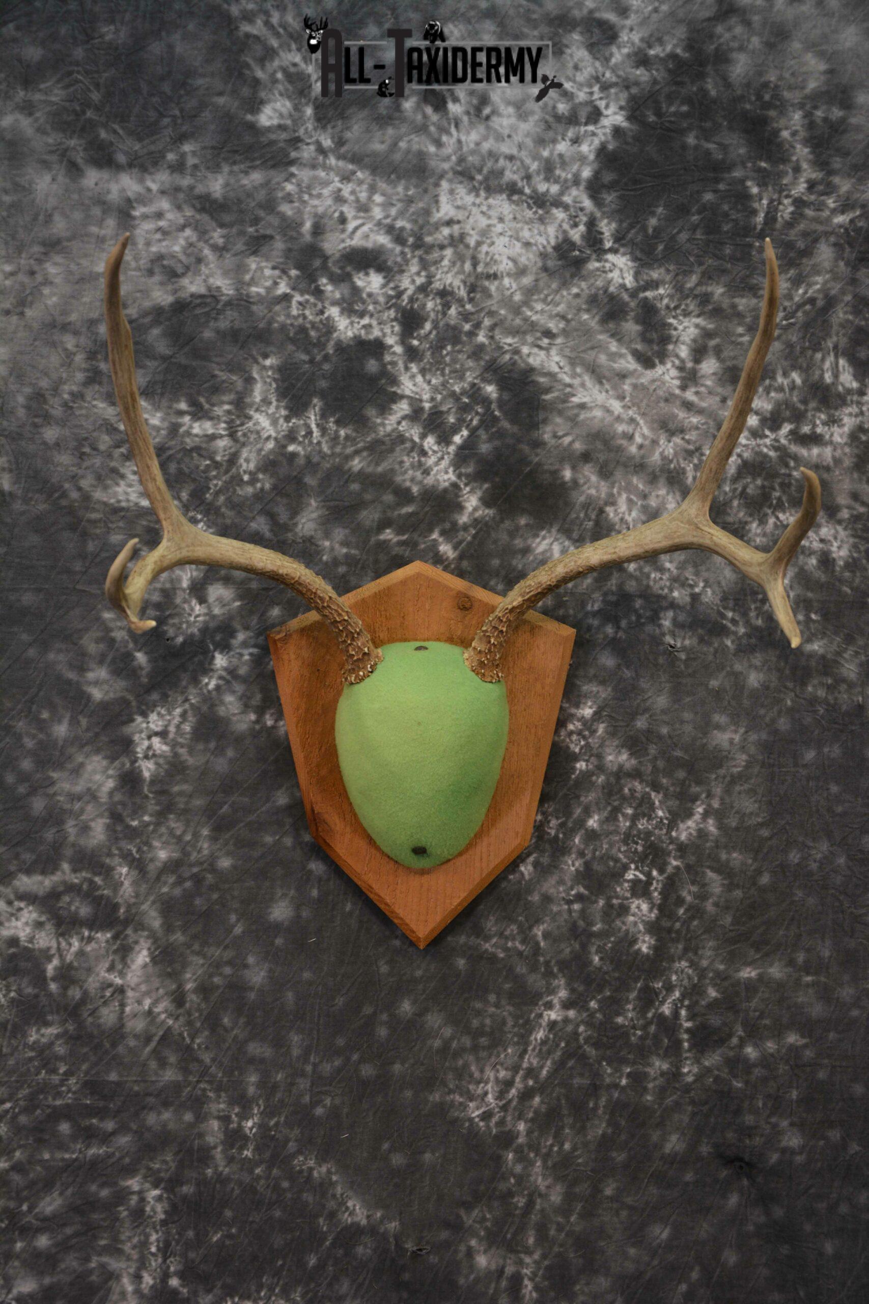 Mule Deer taxidermy antler base plaque for sale SKU 1228