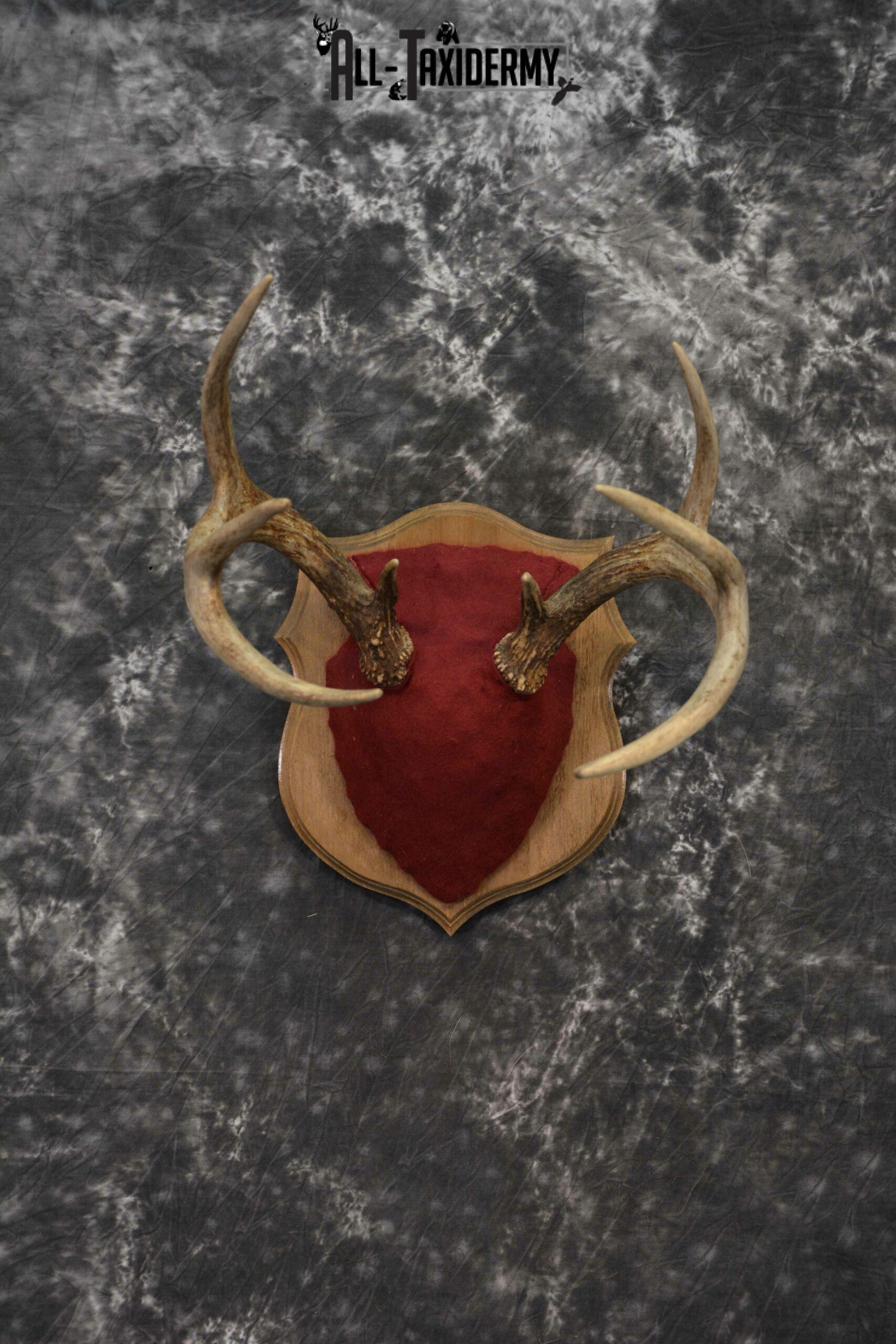 Whitetail deer antler base plaque for sale SKU 1232