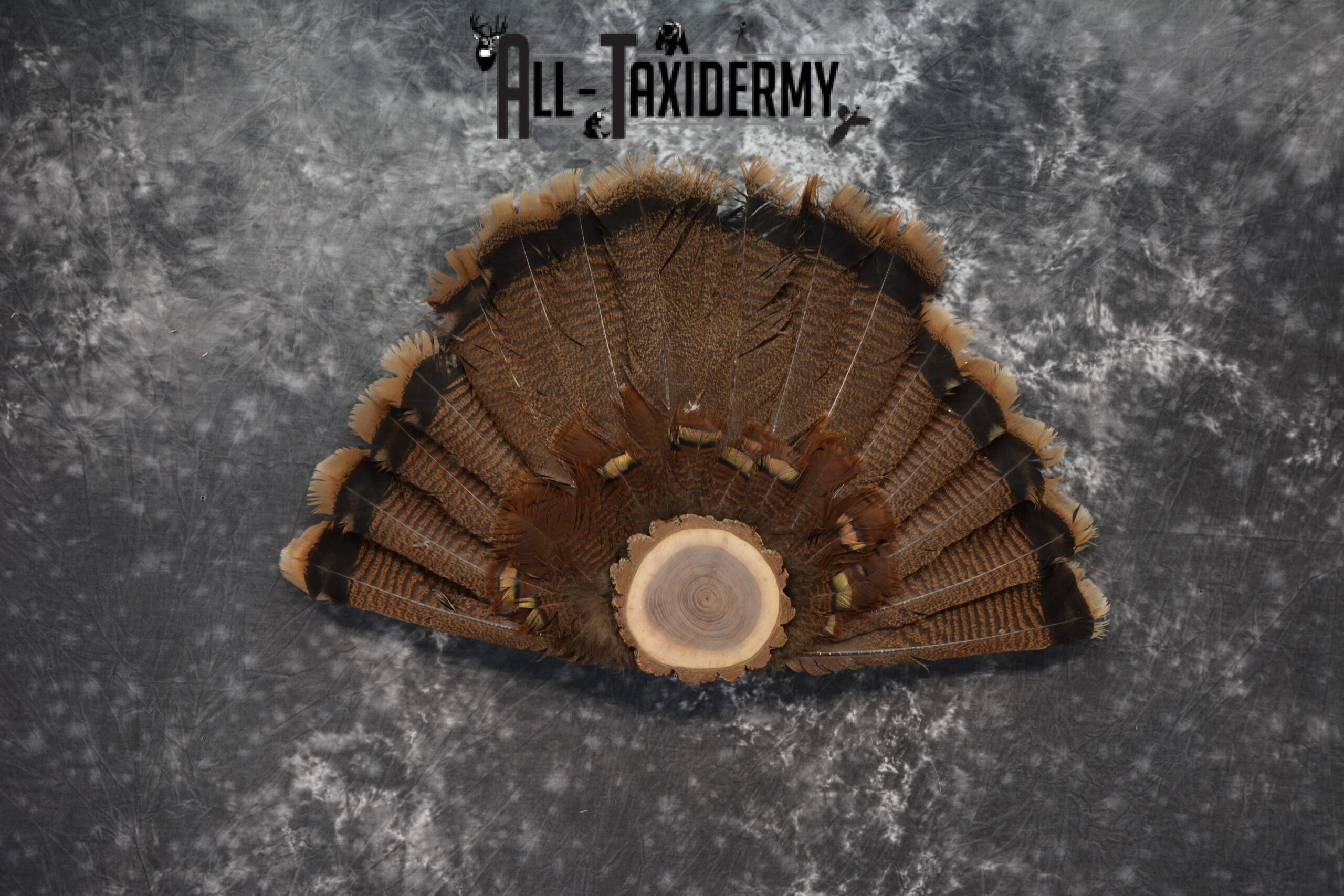 Eastern turkey taxidermy tail fan for sale SKU 1237