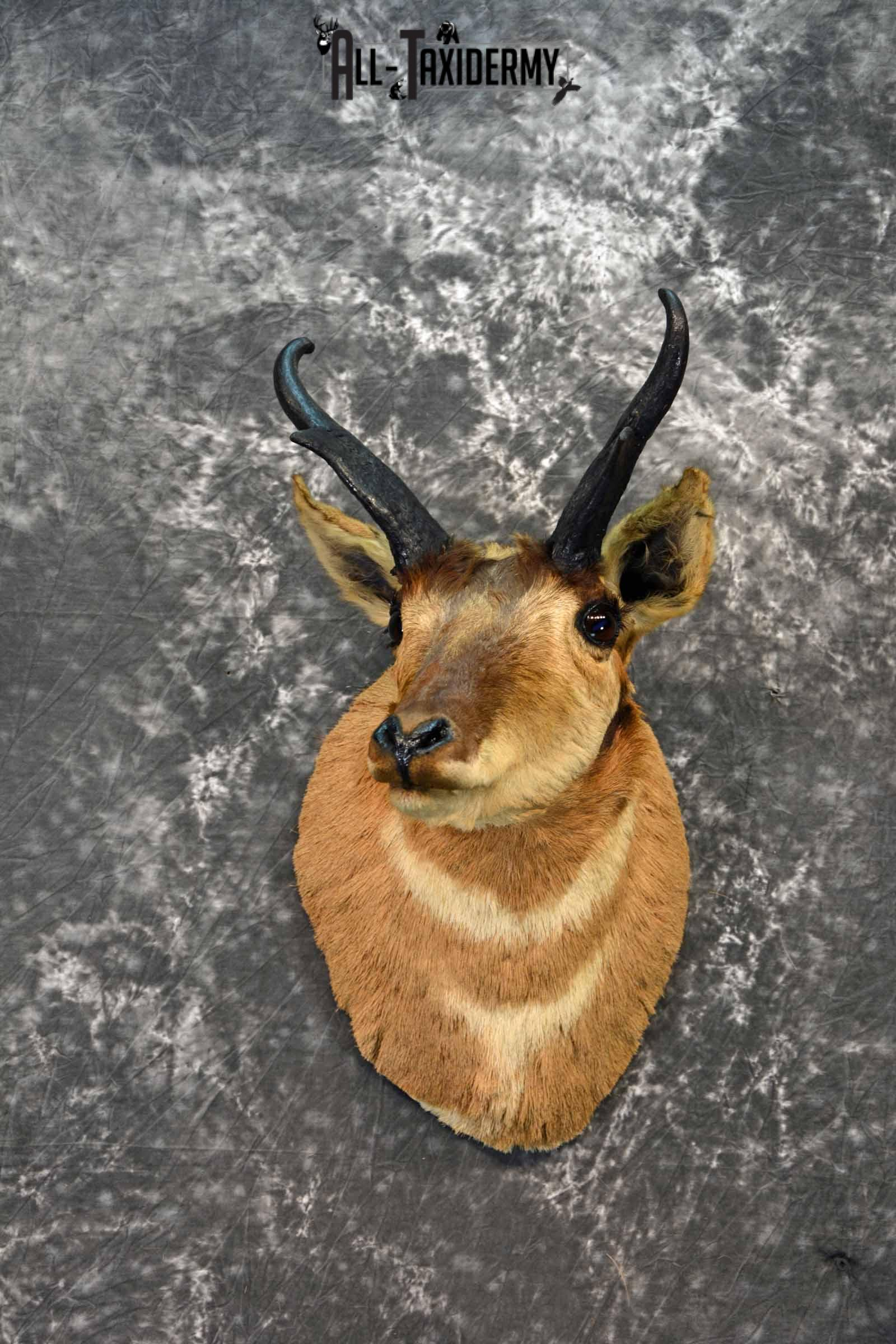 Pronghorn Antelope taxidermy head mount for sale SKU 1163