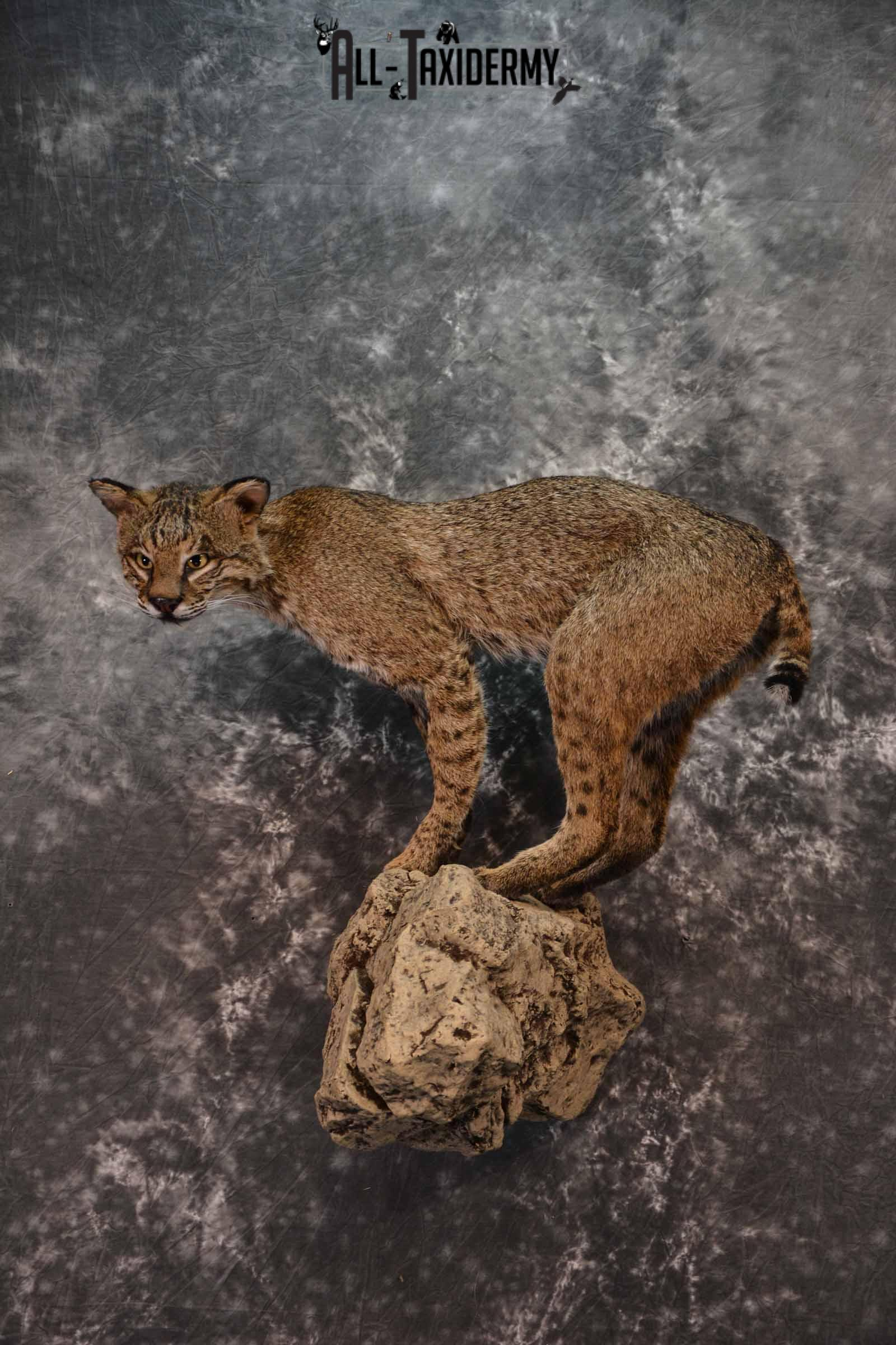 Bobcat full body taxidermy mount for sale SKU1017