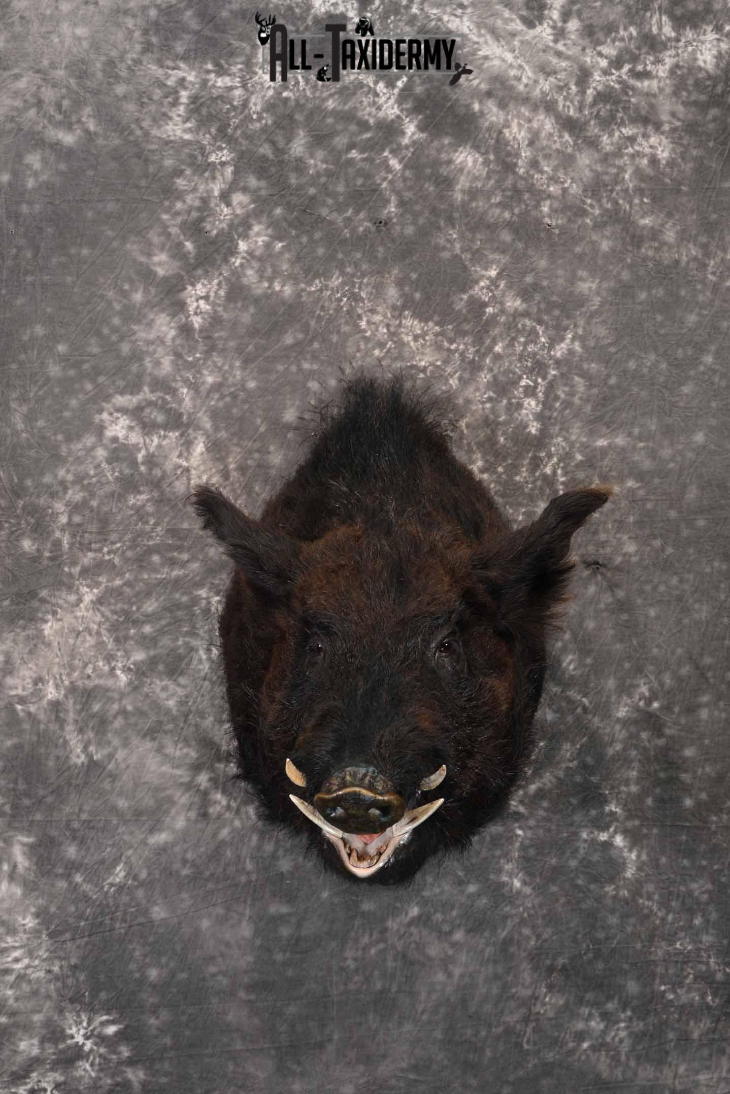 Russian Boar taxidermy mount for sale SKU 1201