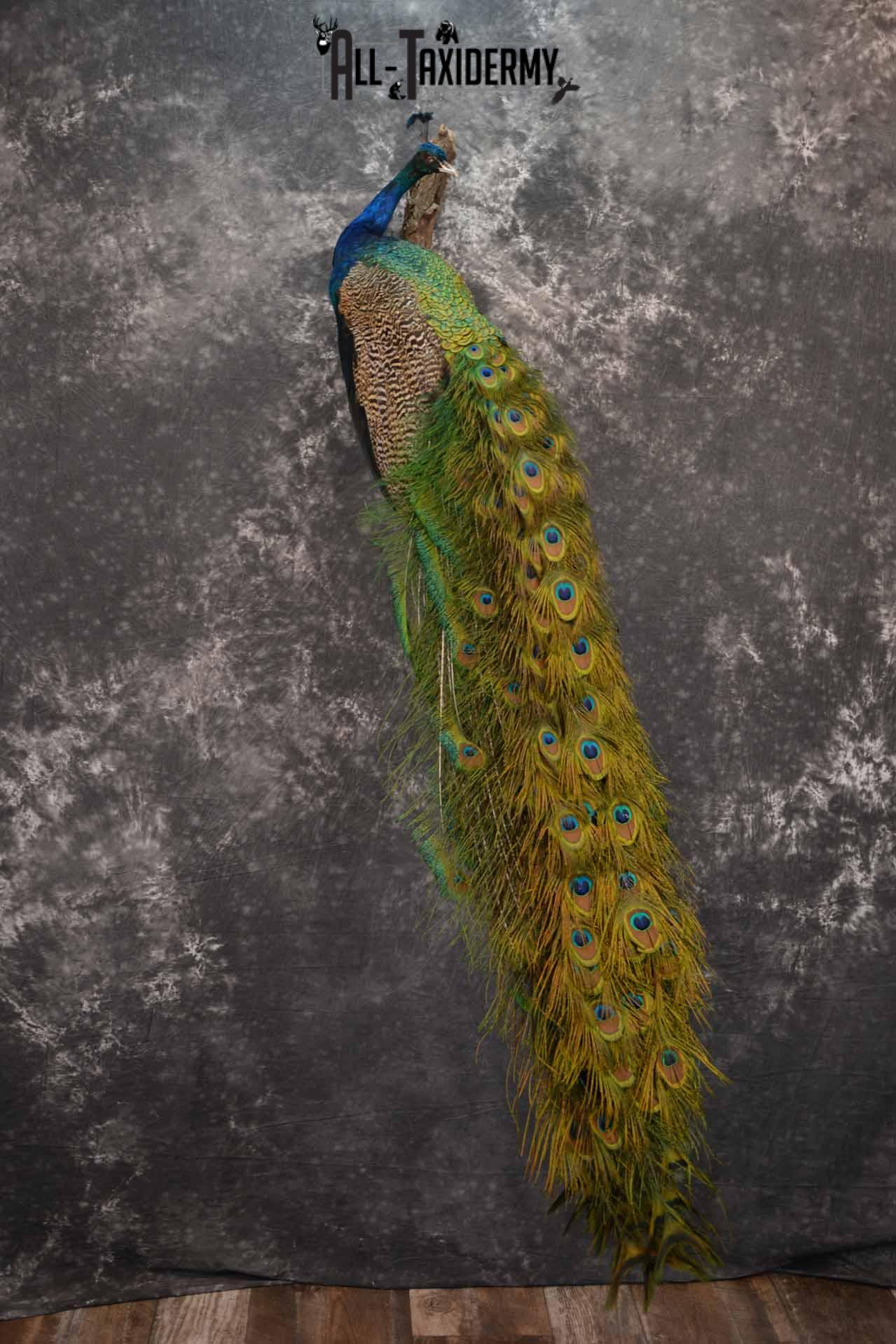 Indian Peacock taxidermy mount for sale SKU 1251