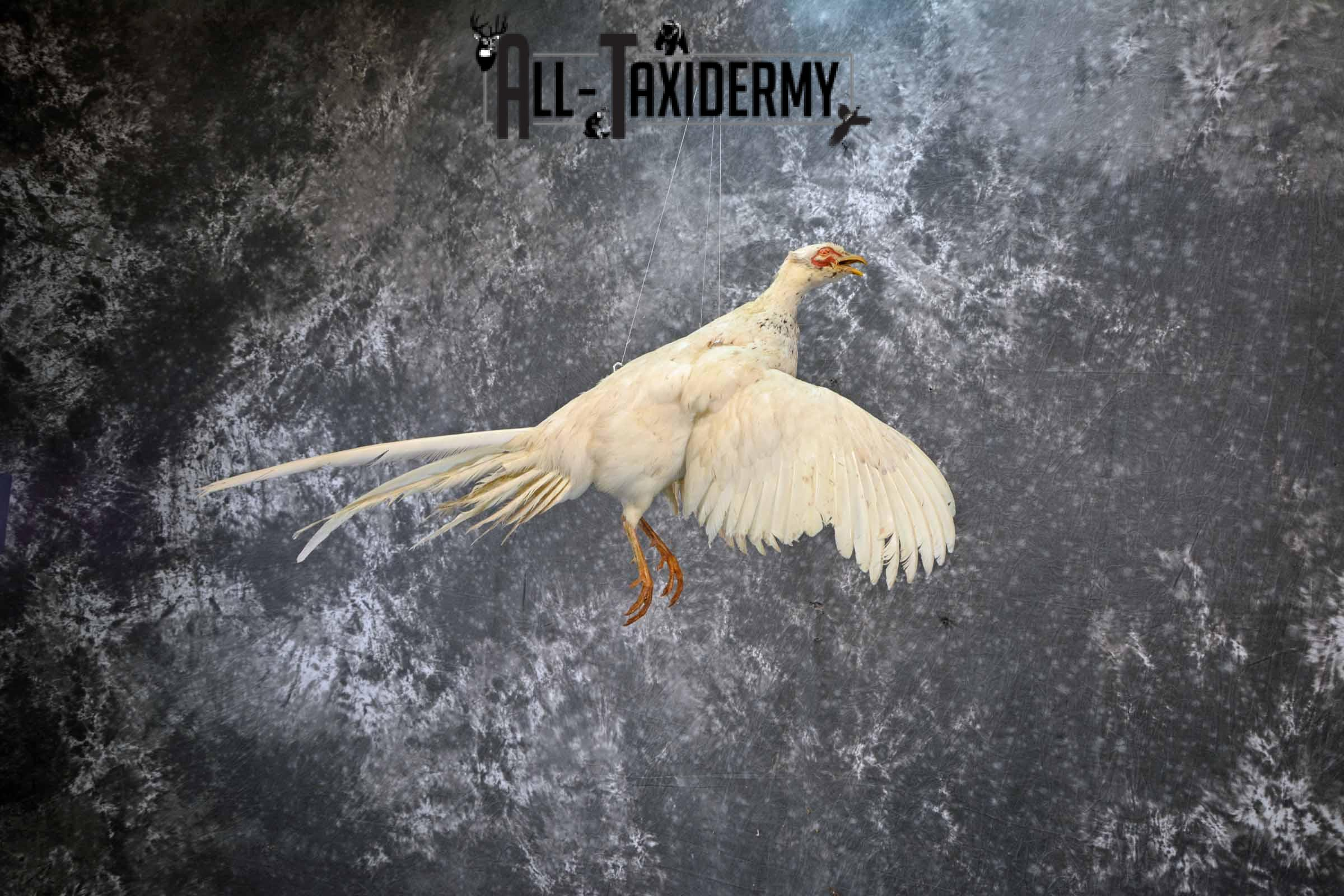White Pheasant taxidermy mount for sale SKU 1199