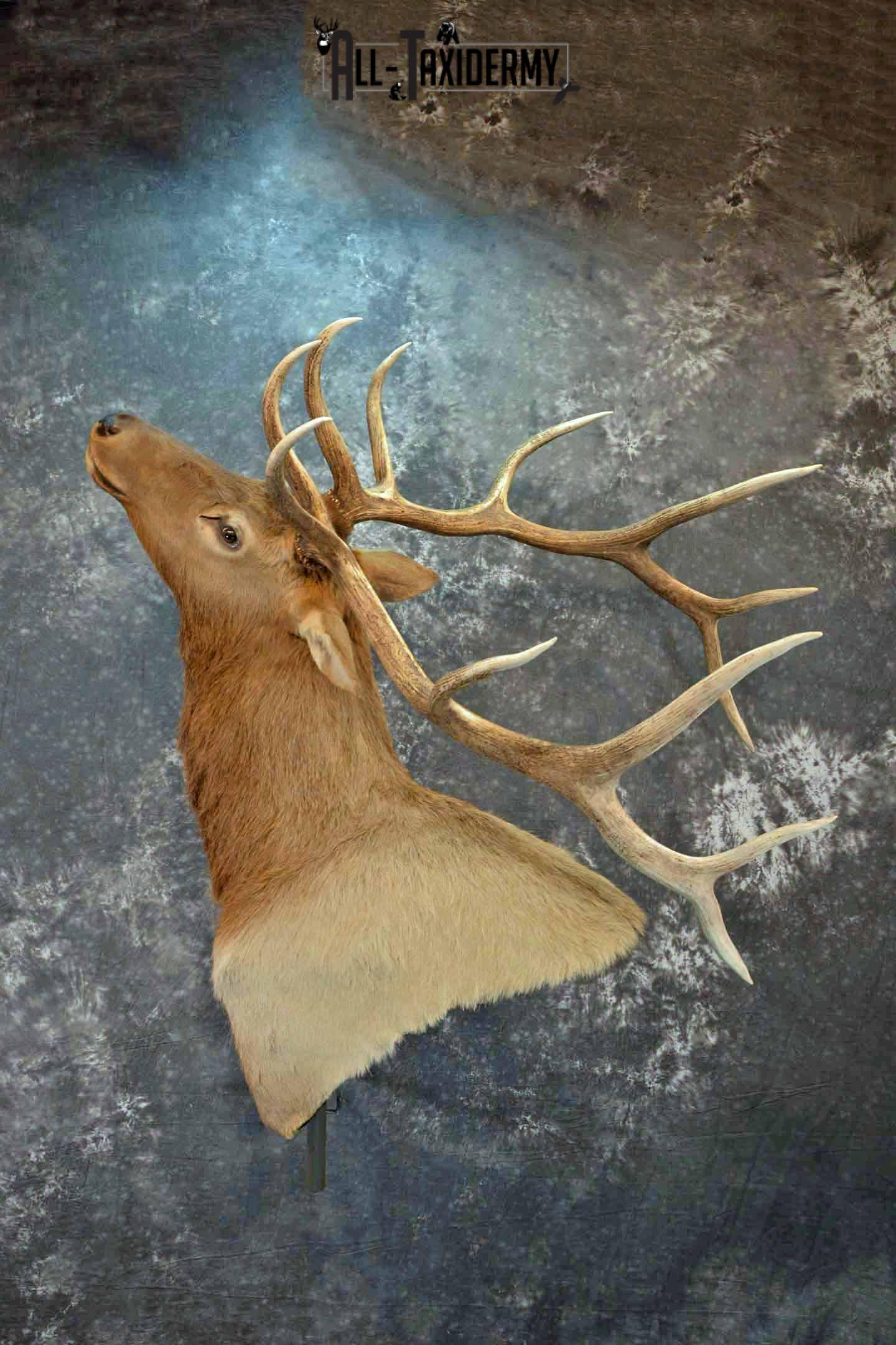 Elk Taxidermy shoulder mount wall pedestal for Sale SKU 1203