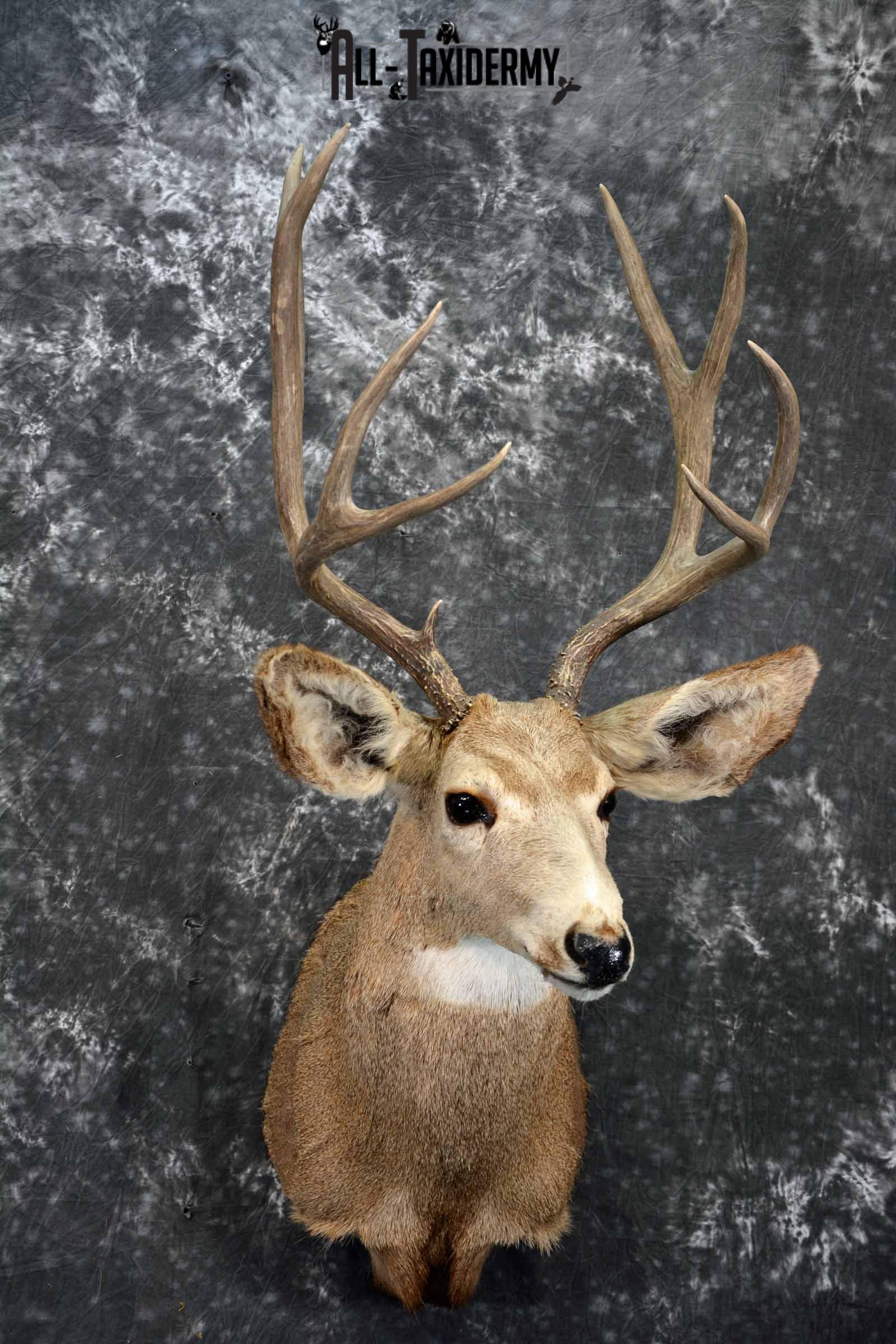 Mule Deer taxidermy shoulder mount for sale SKU 1155