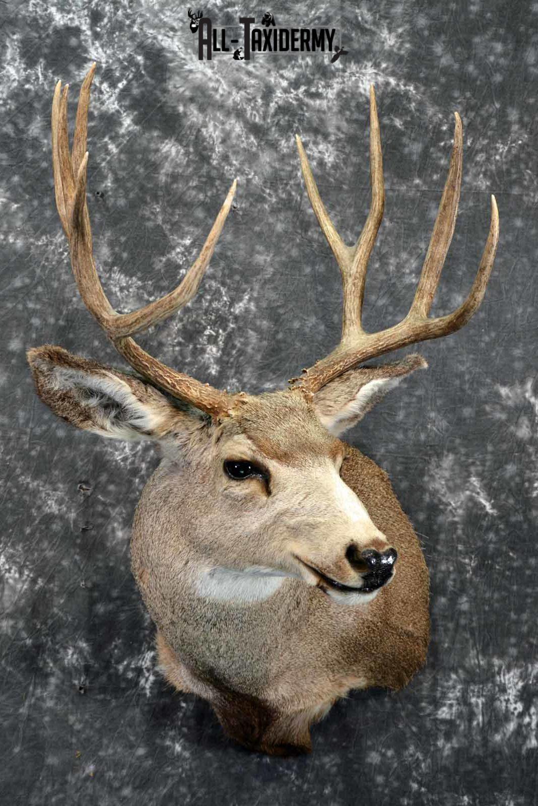 Mule deer taxidermy shoulder mount for sale SKU 1158