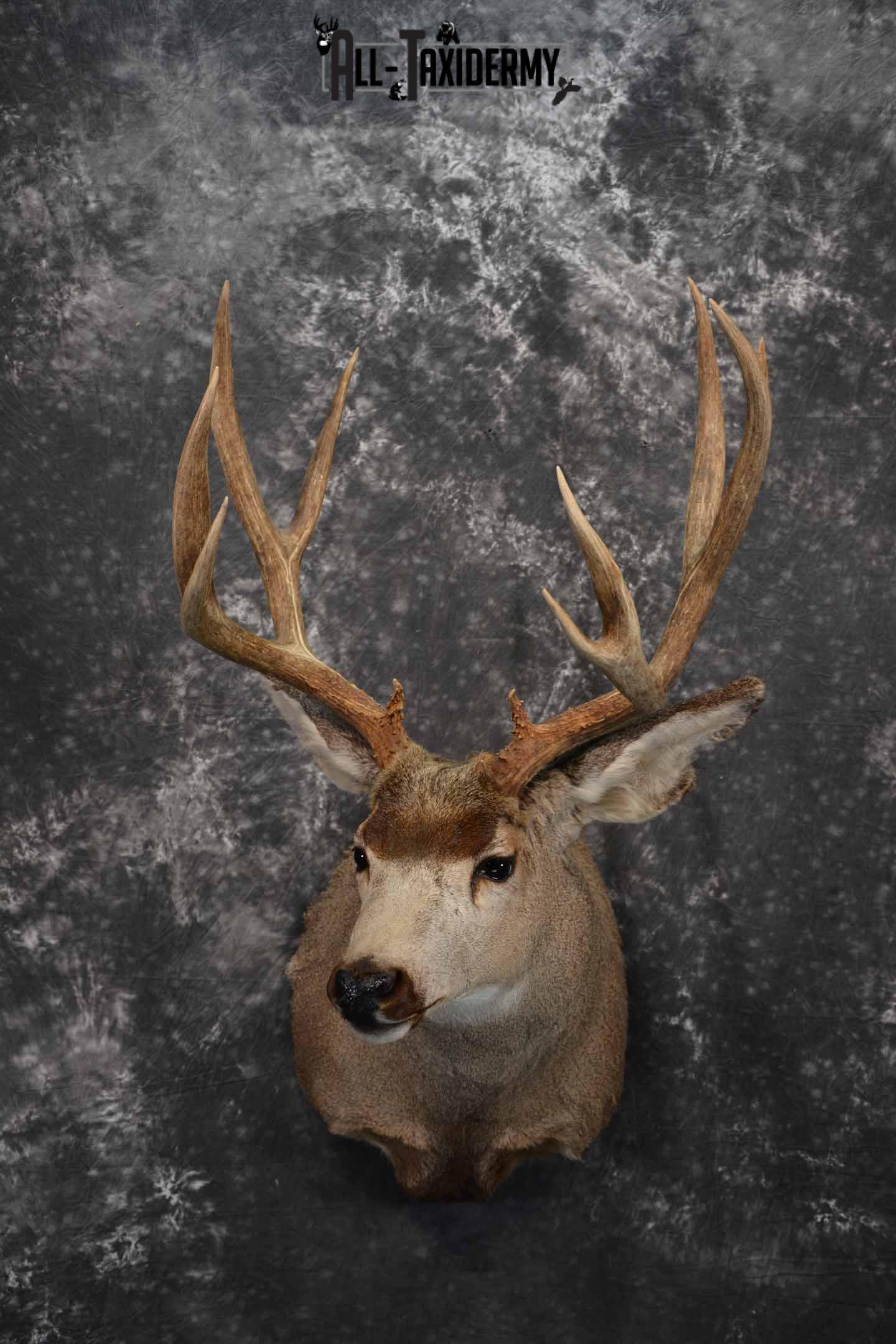 Mule Deer Taxidermy mount for sale SKU 1267