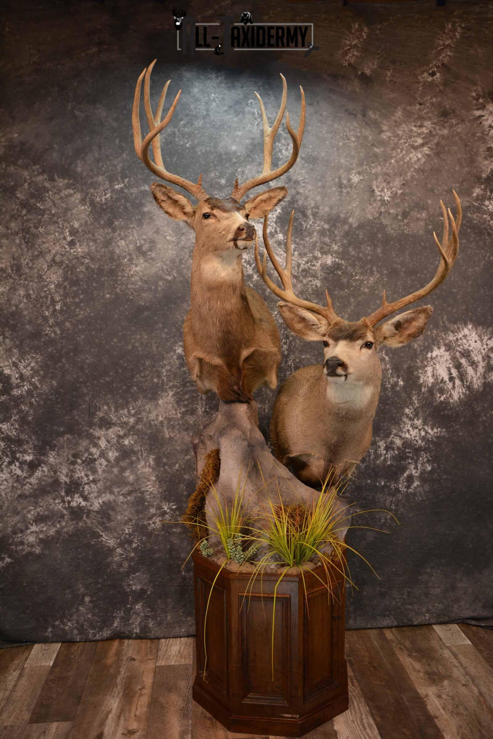 Two Mule deer Taxidermy for sale SKU 1259-60