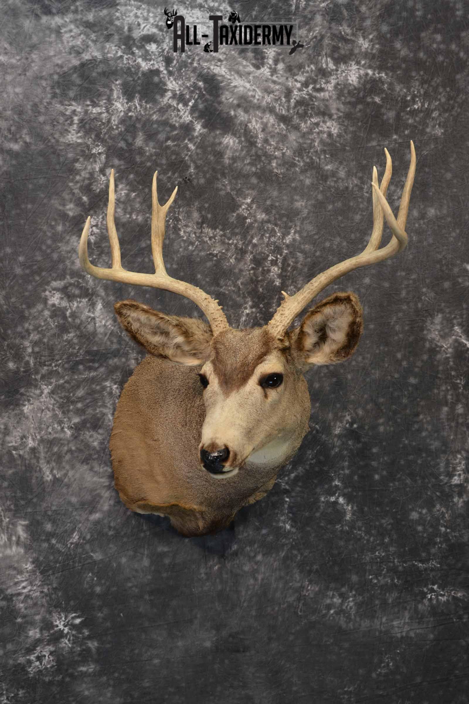 Mule deer taxidermy mount for sale SKU 1156
