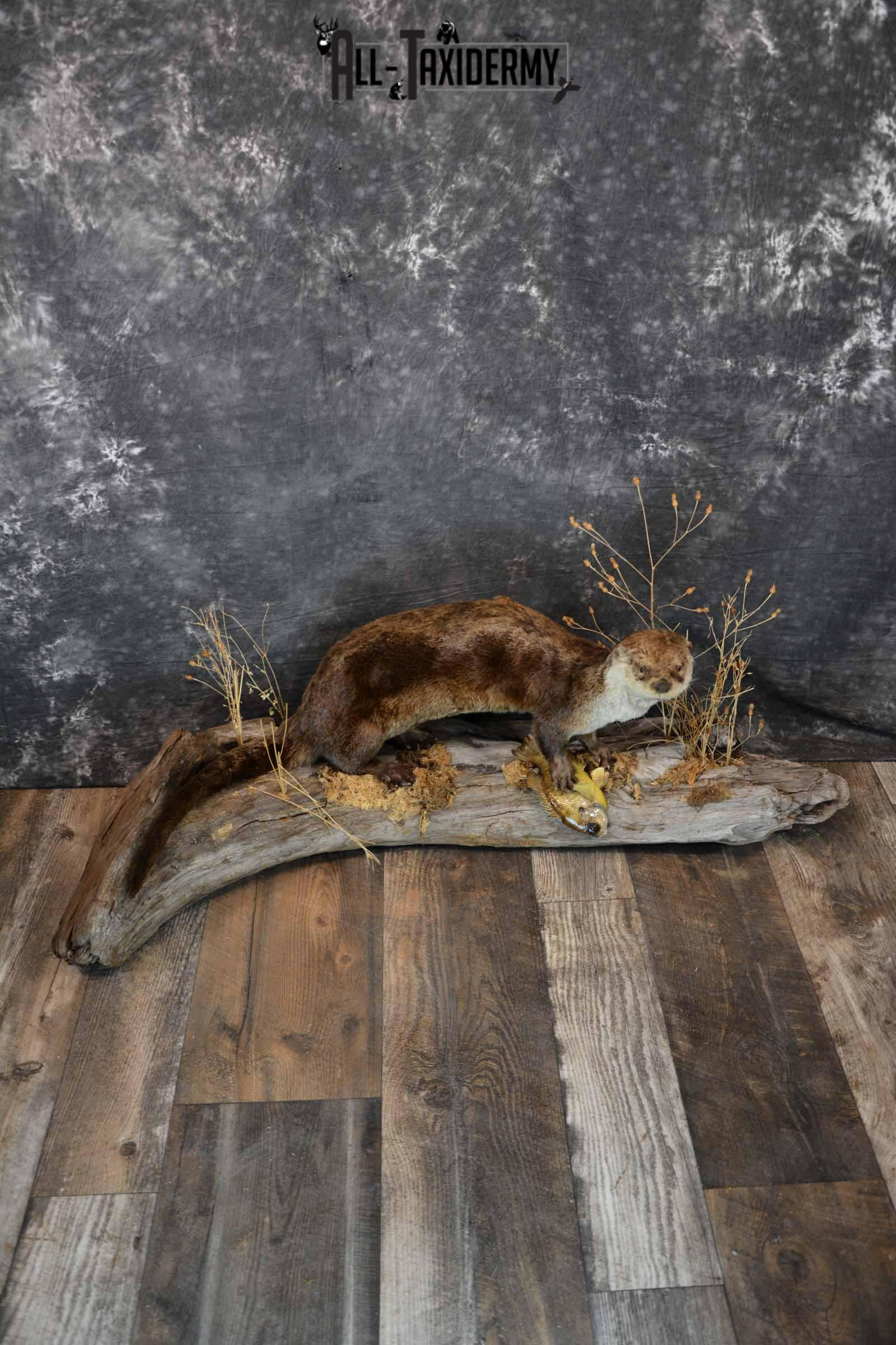 Otter With Bluegill Taxidermy mount for Sale SKU 1301