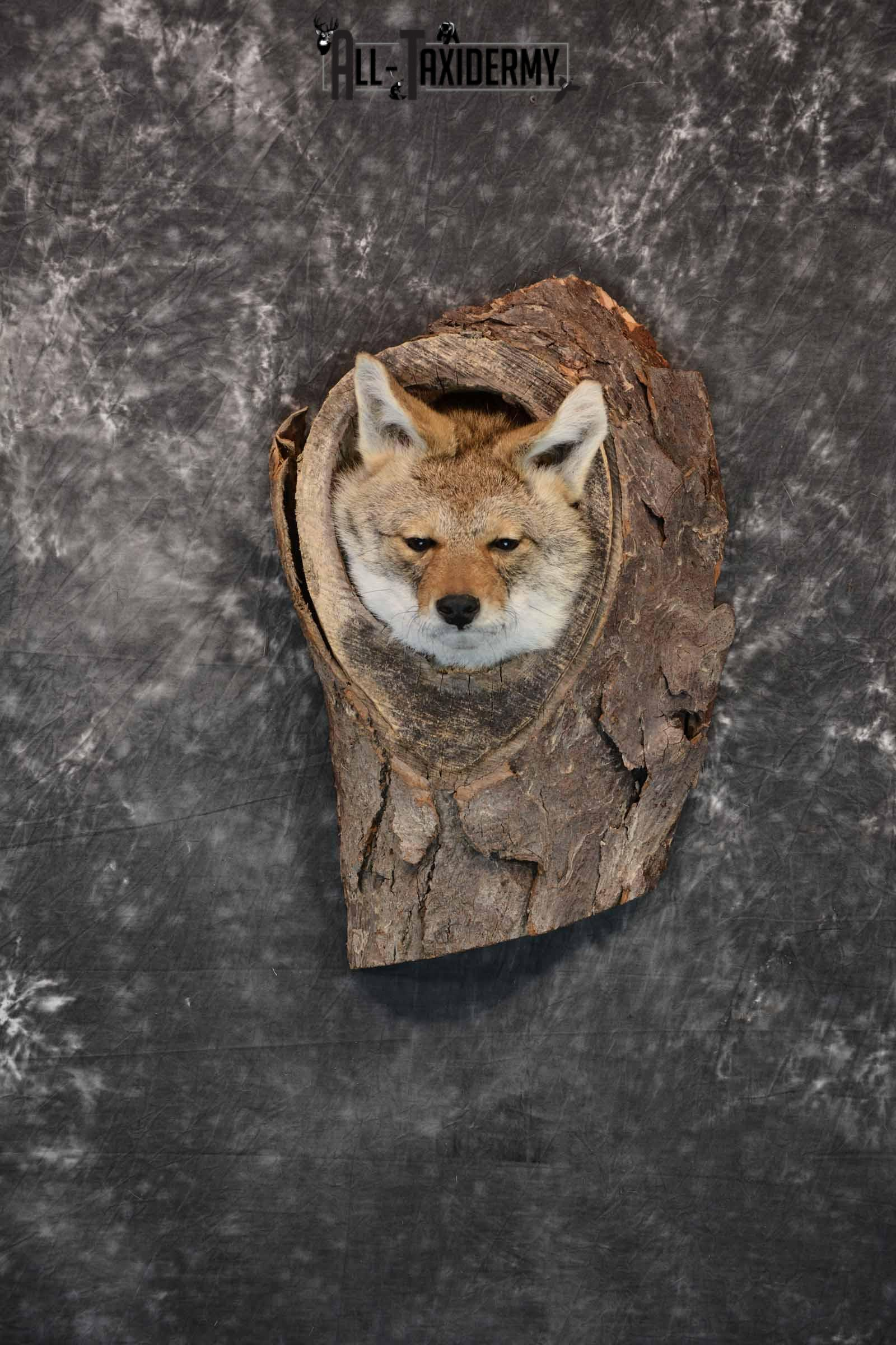 Coyote in a Den Taxidermy Mount for Sale SKU 1300