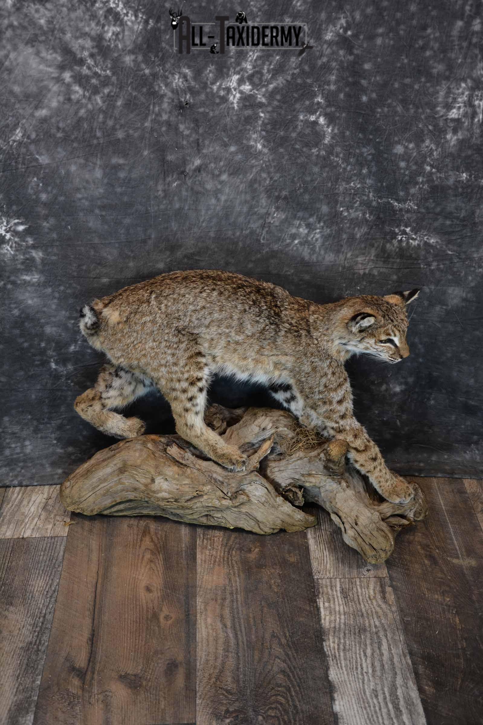 Bobcat Taxidermy Mount for Sale SKU 1297