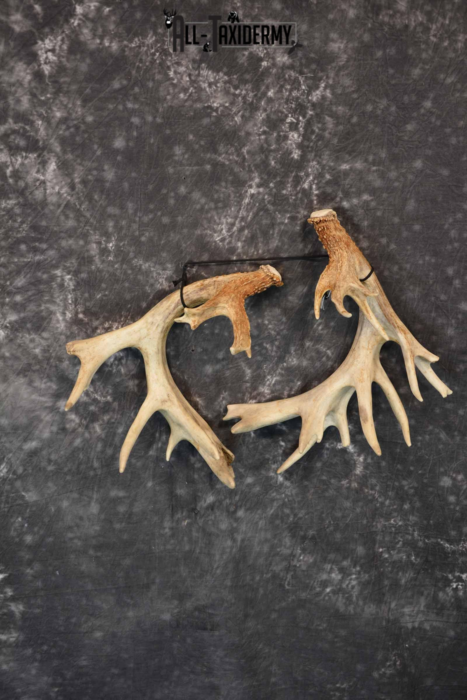 Whitetail Deer mid 200 Class Matching Antler Sheds, 30 pointer for Sale SKU 1280