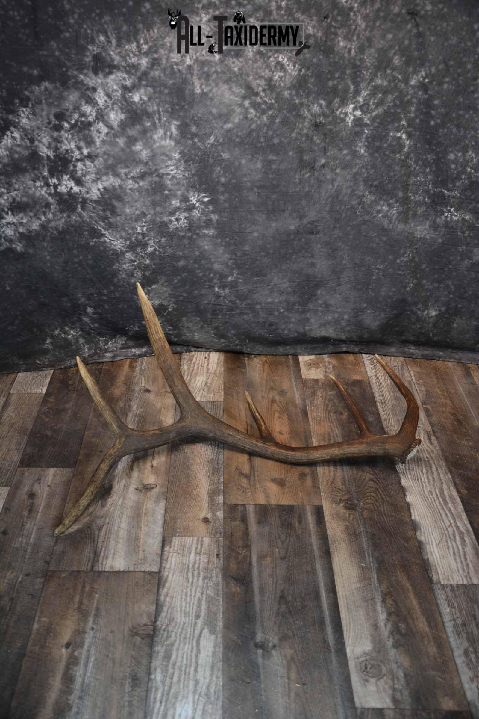 Elk Antler Shed for Sale SKU 1275