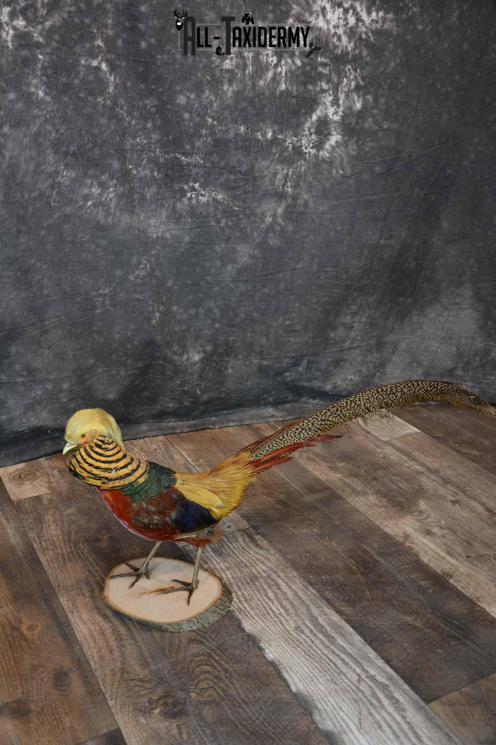 Golden Pheasant Taxidermy Mount For Sale SKU 1287