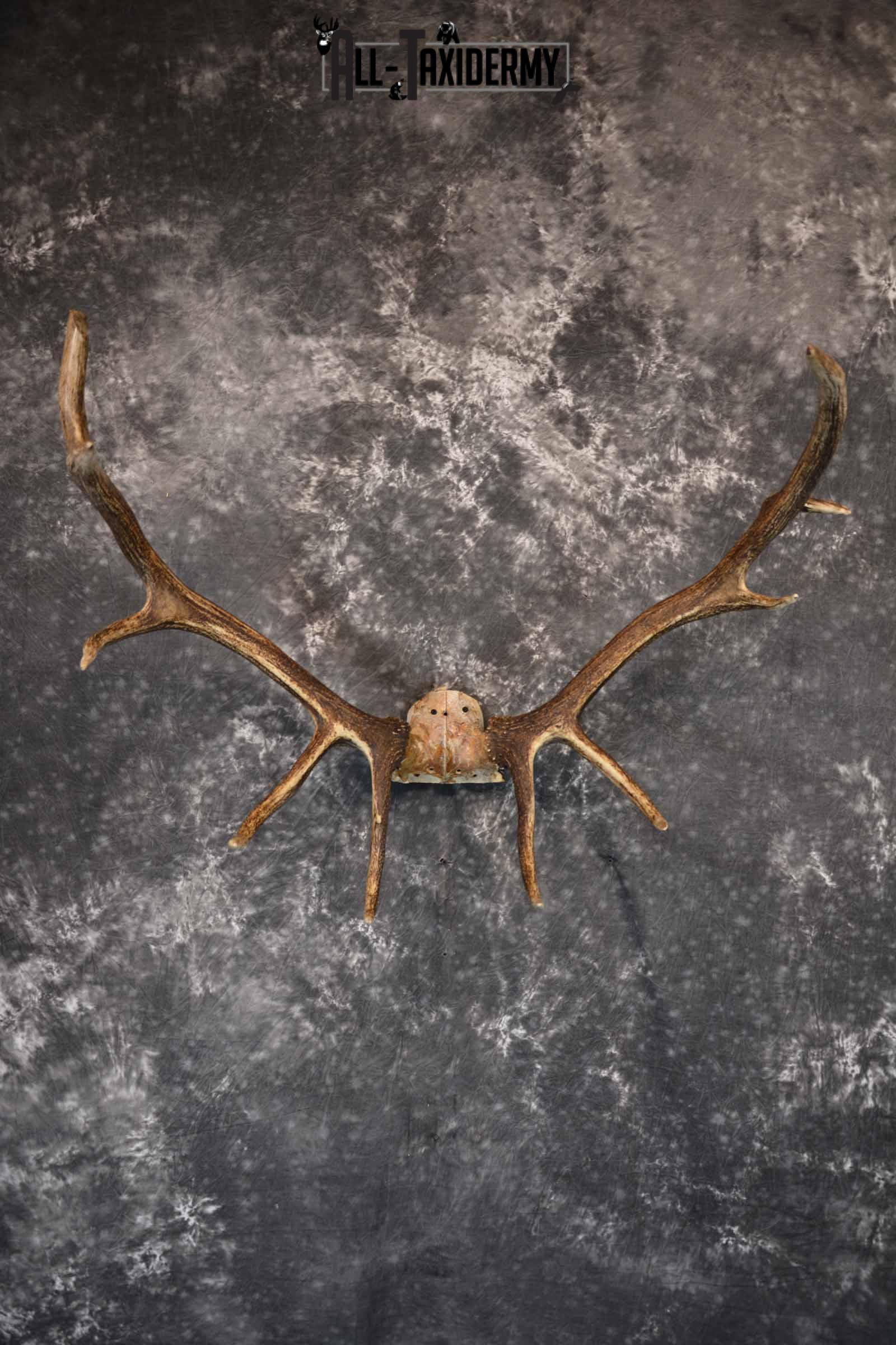 Elk Antler Skull Cap for Sale SKU 1159