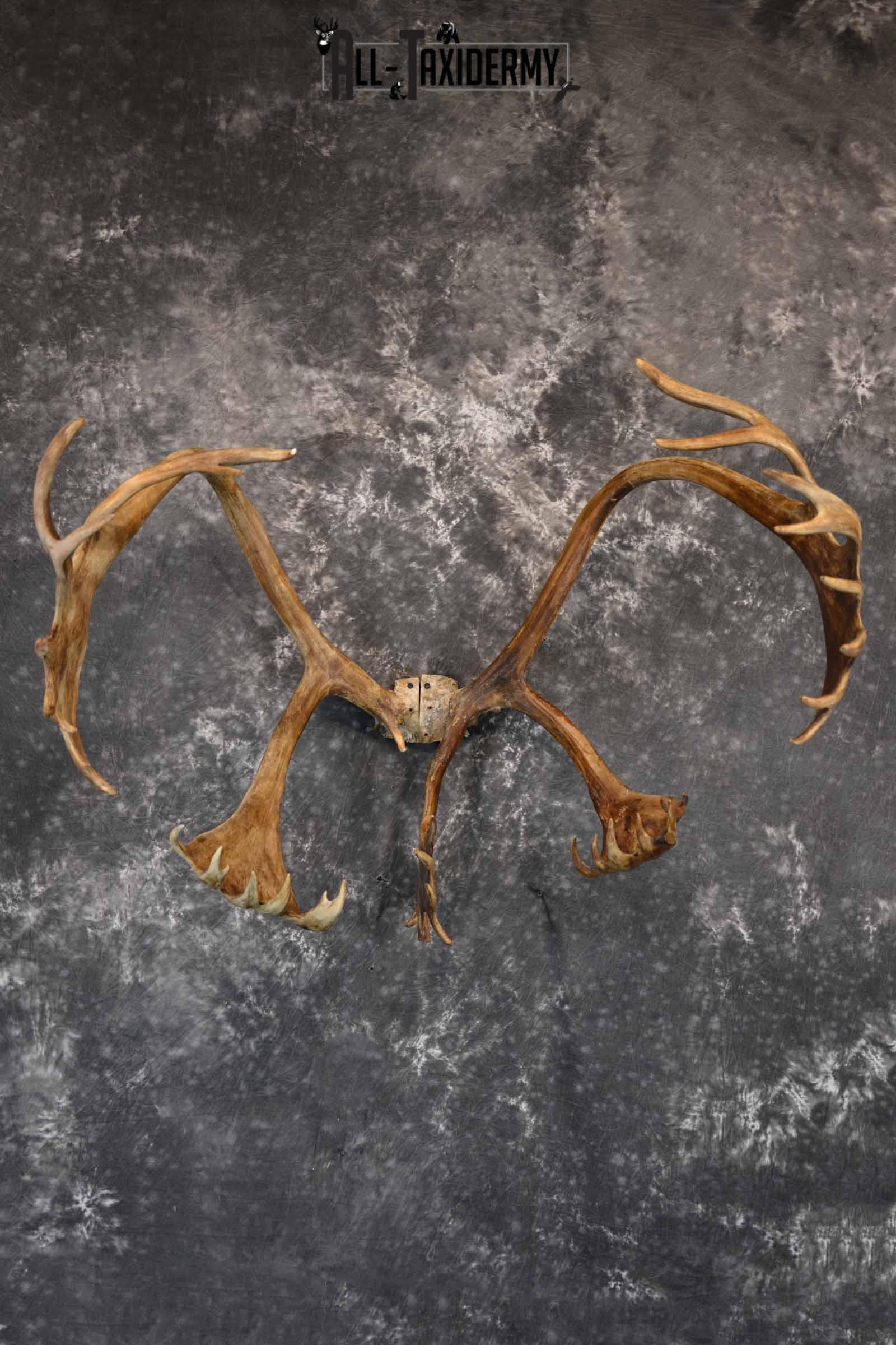 Caribou Antler Skull cap for Sale SKU 1161