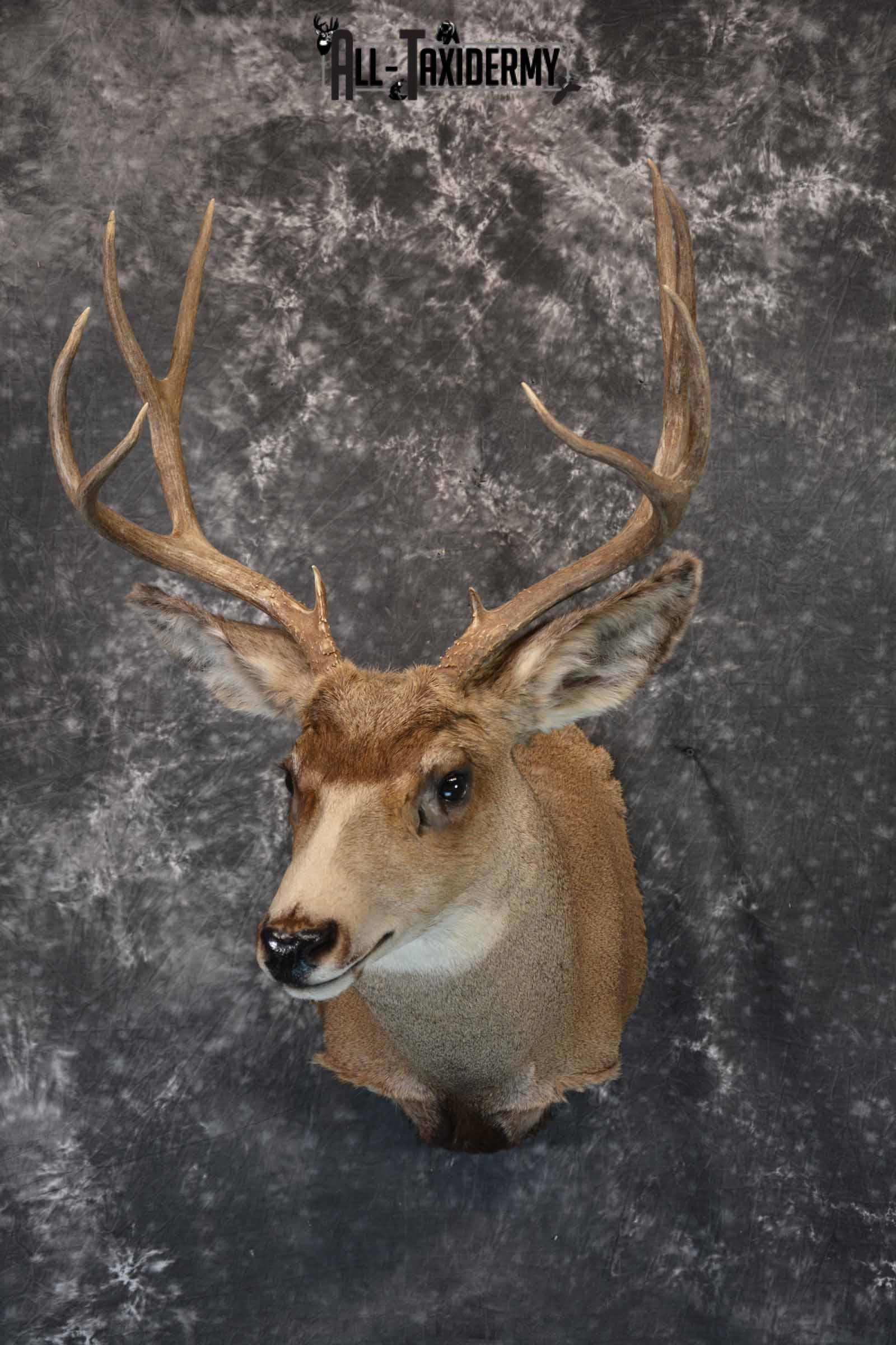 Mule Deer taxidermy mount for sale SKU 1157