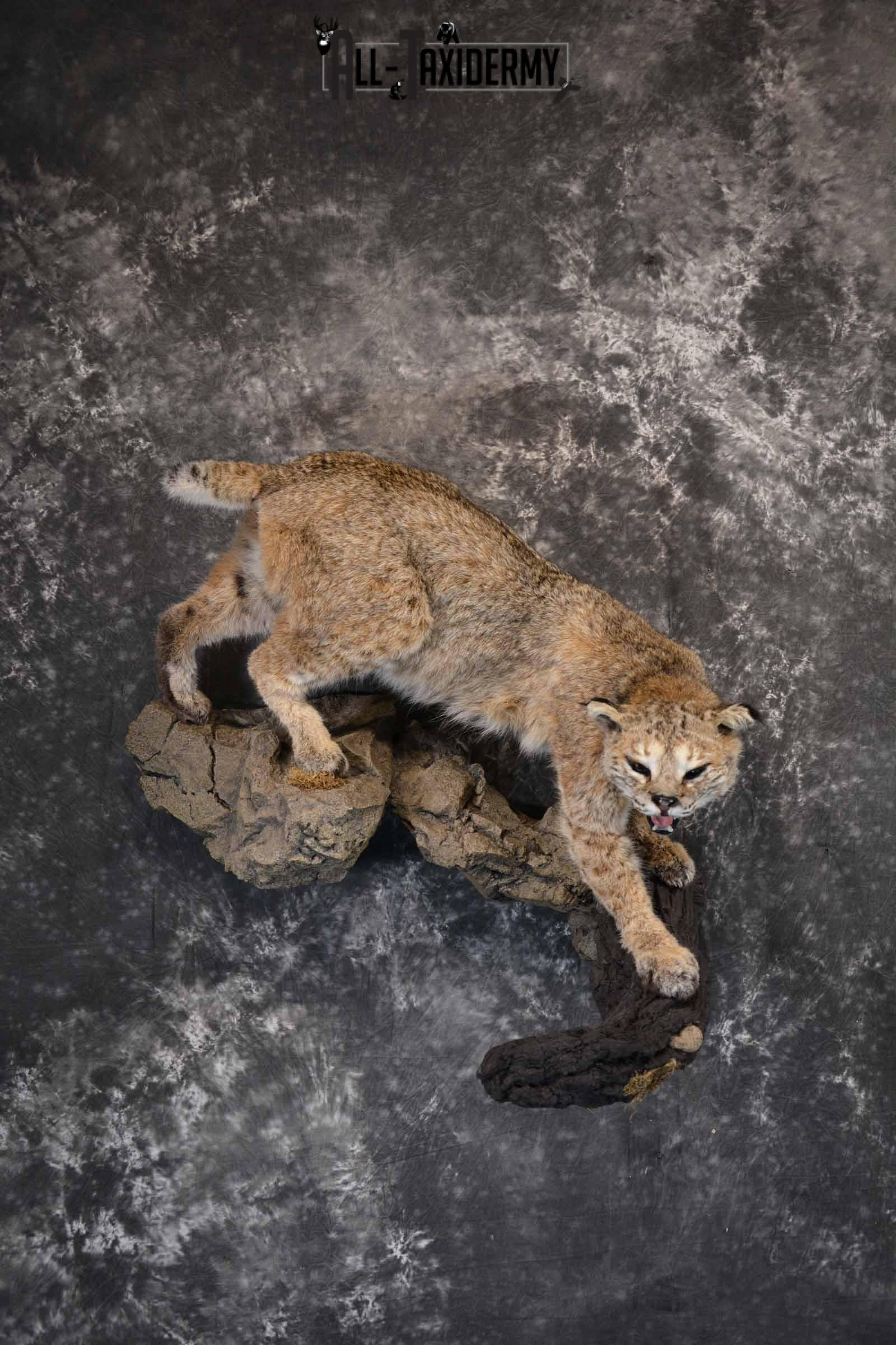 Bobcat Taxidermy Mount for Sale SKU 1302