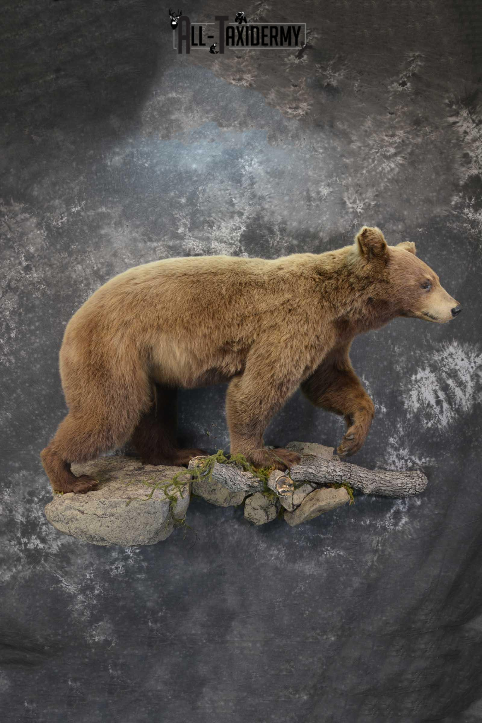 Cinnamon Black Bear Taxidermy Mount for Sale SKU 1295