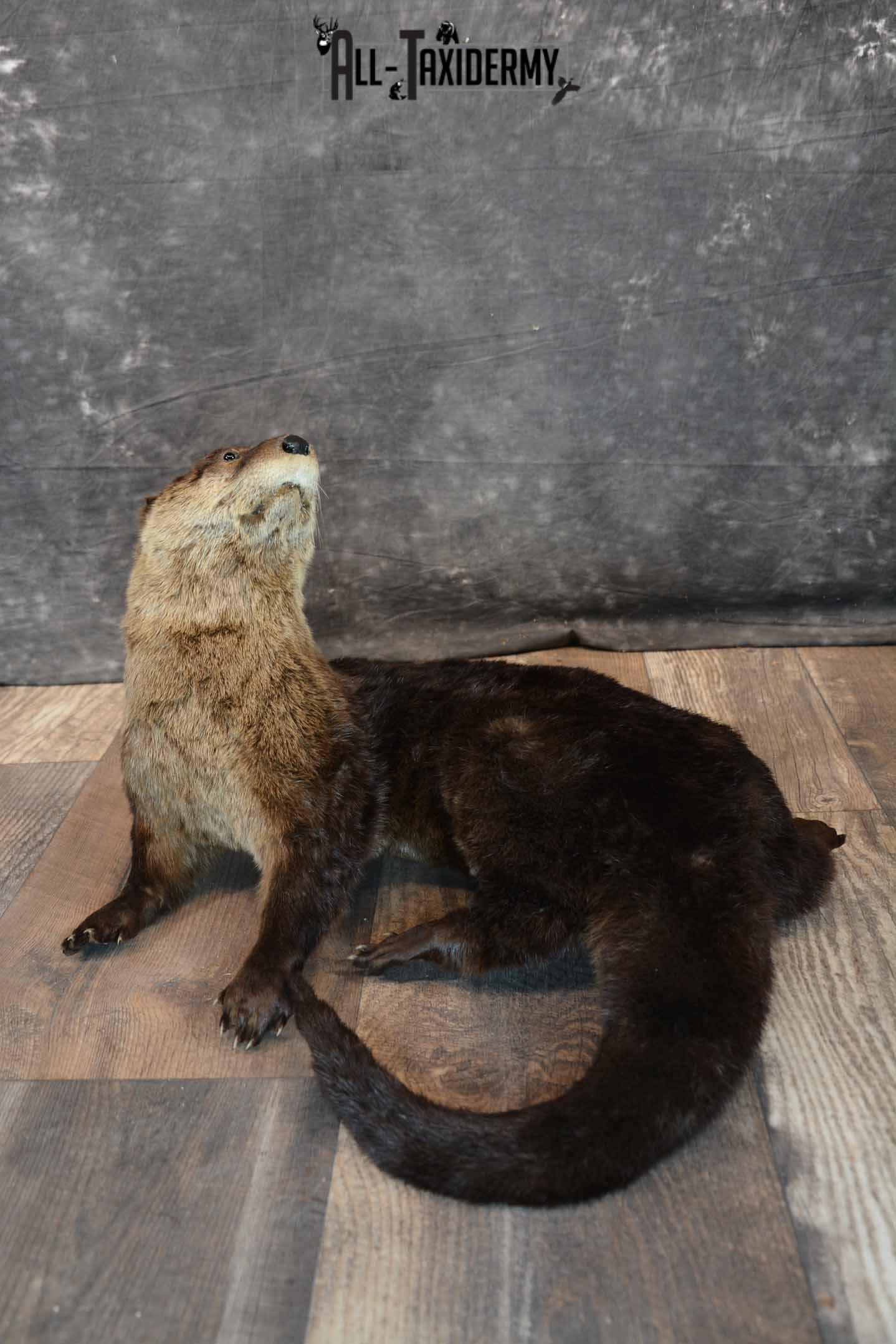 Otter Taxidermy Mount for Sale SKU 1298
