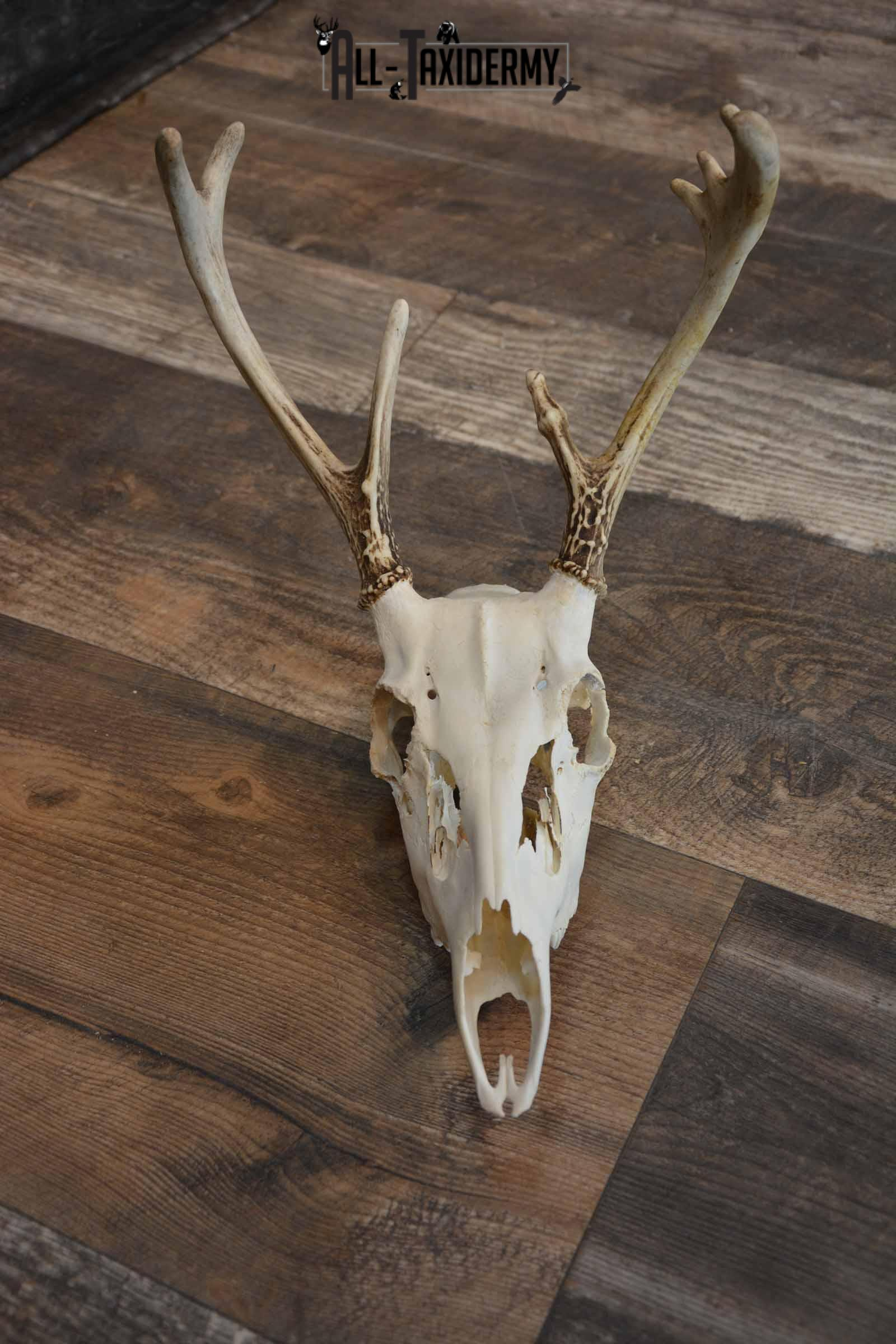 Whitetail European Skull 8 Pointer for Sale SKU 1311