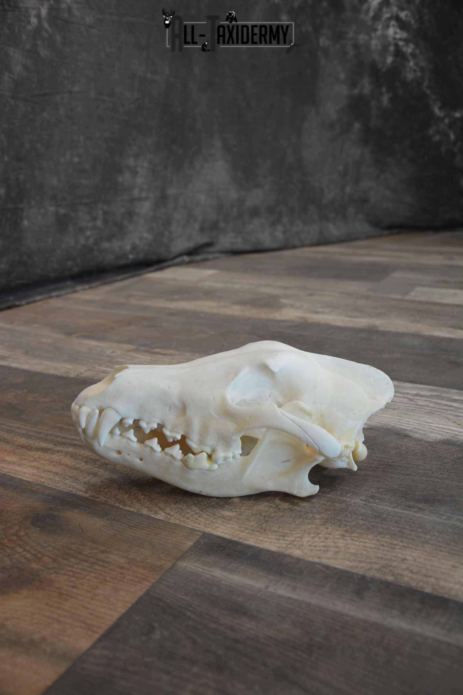 Canadian Wolf Skull for Sale SKU 1289