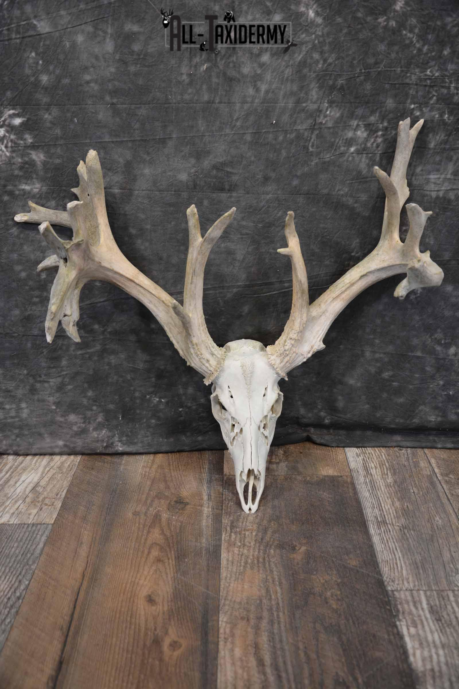 Whitetail Deer 24 point European Skull for Sale SKU 1281