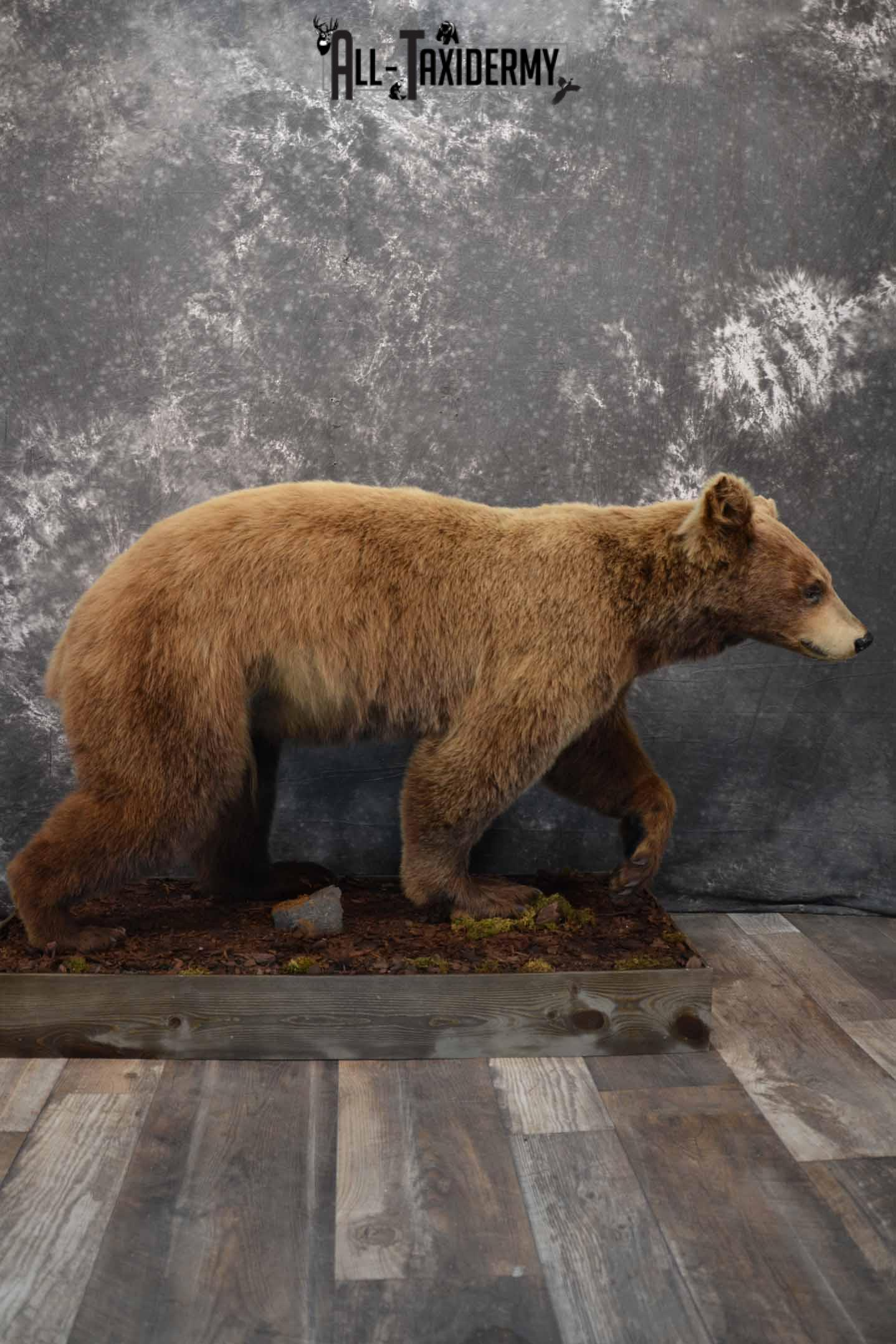 Cinnamon Black Bear Taxidermy Mount for Sale SKU 1295
